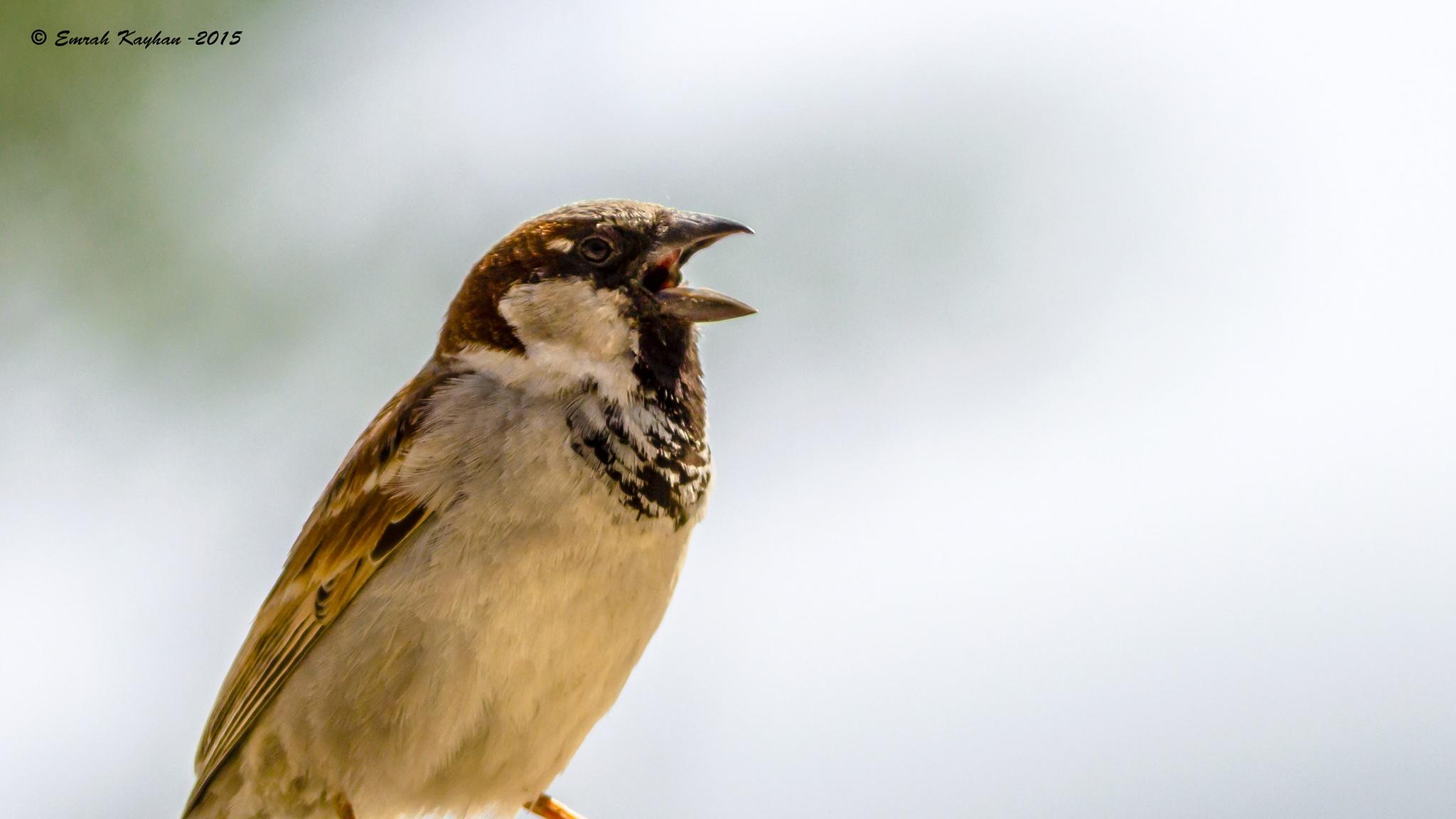 House Sparrow by EmrahKayhan