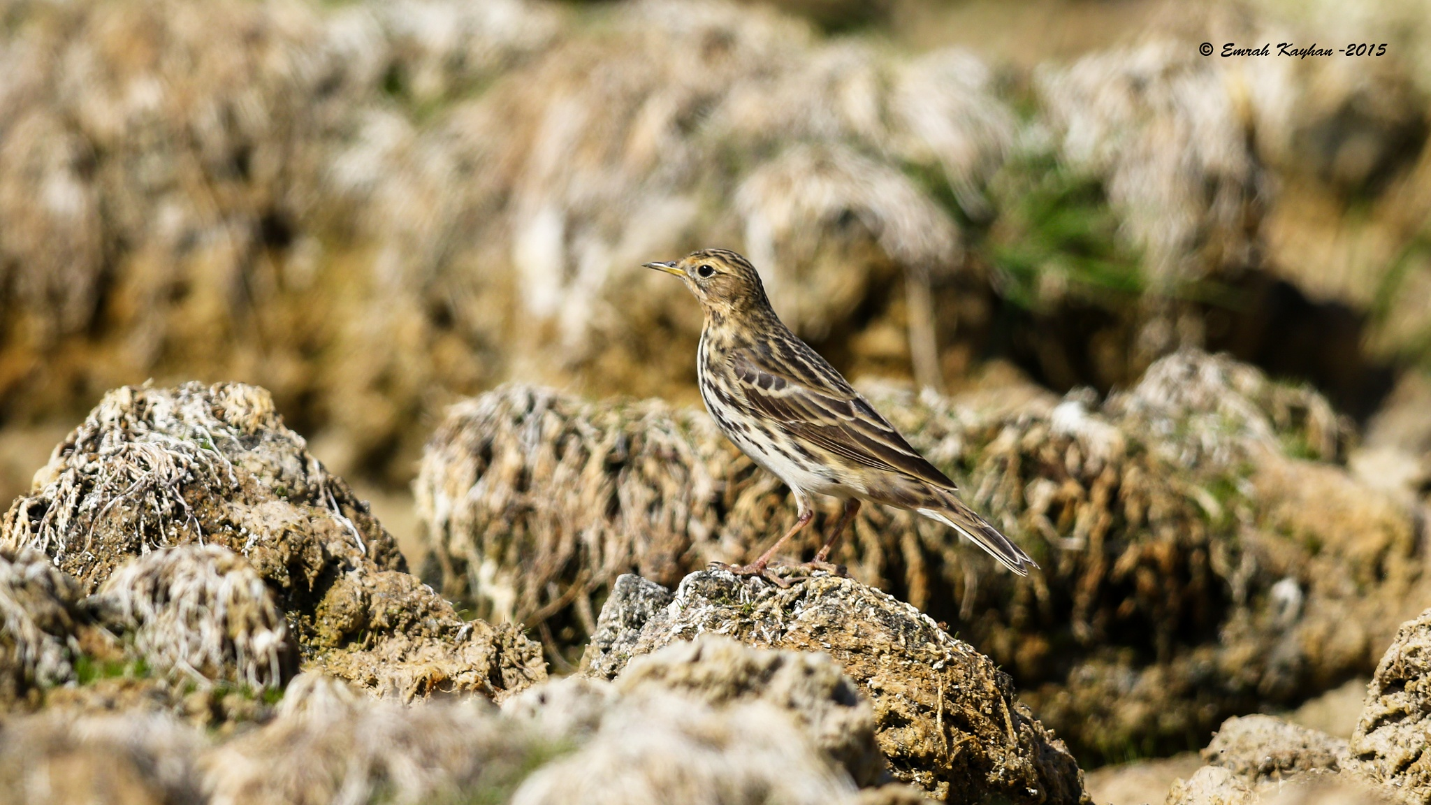 Red throated Pipit by EmrahKayhan