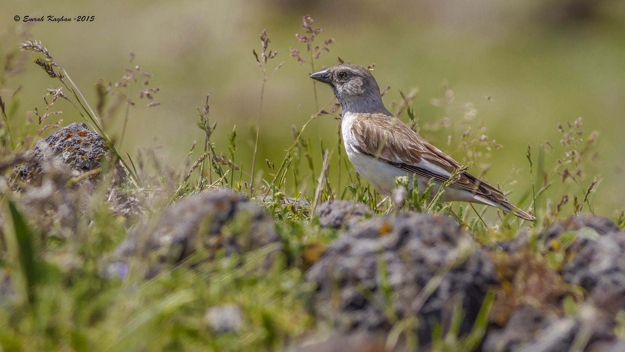 White-winged Snowfinch  by EmrahKayhan