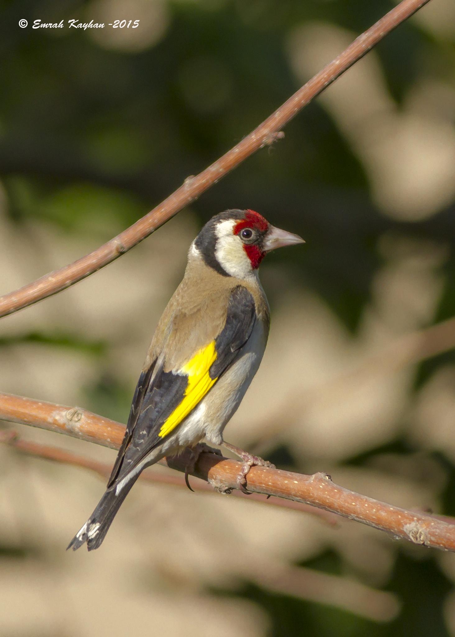 European Goldfinch  by EmrahKayhan