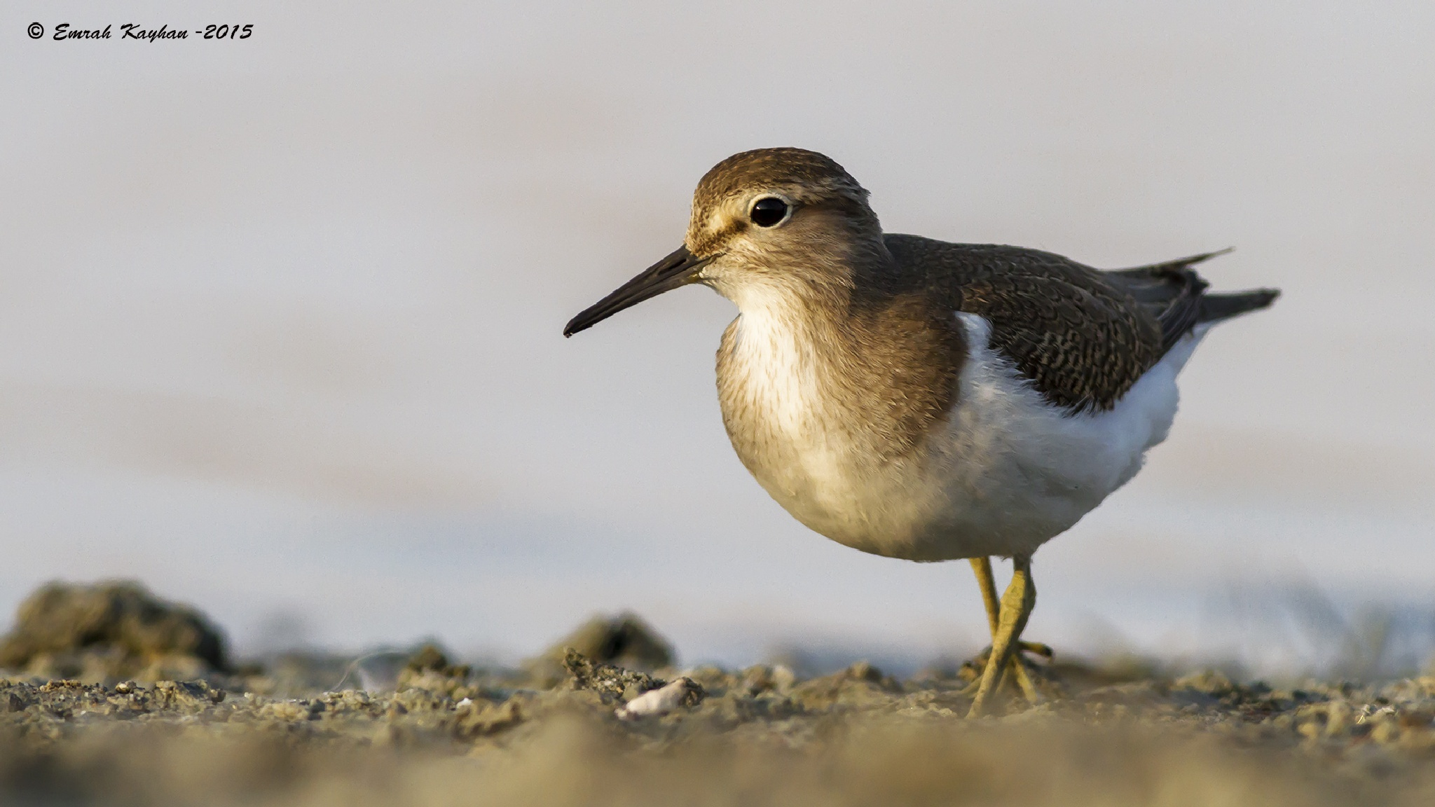 Common Sandpiper by EmrahKayhan