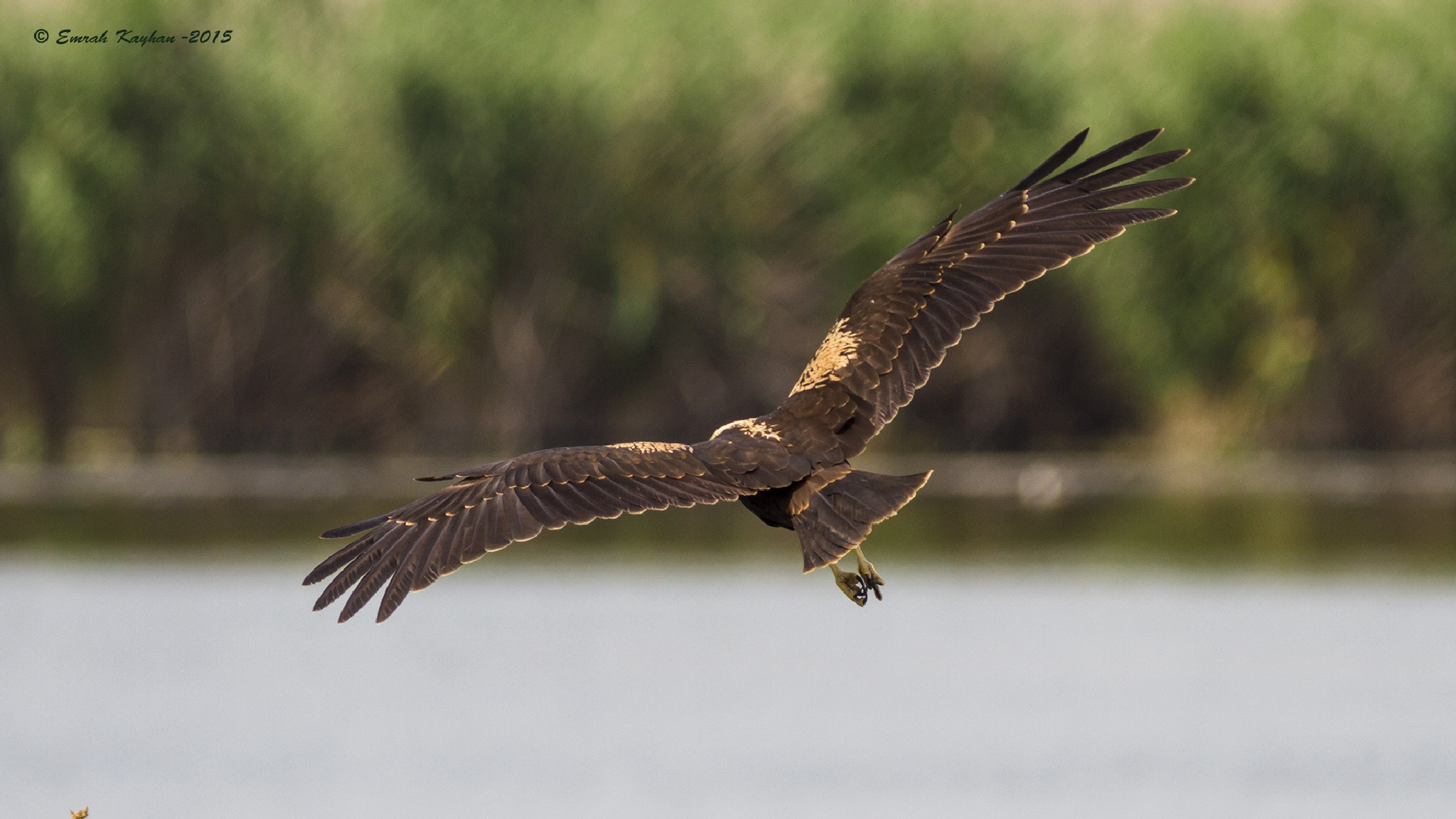 Western Marsh Harrier by EmrahKayhan