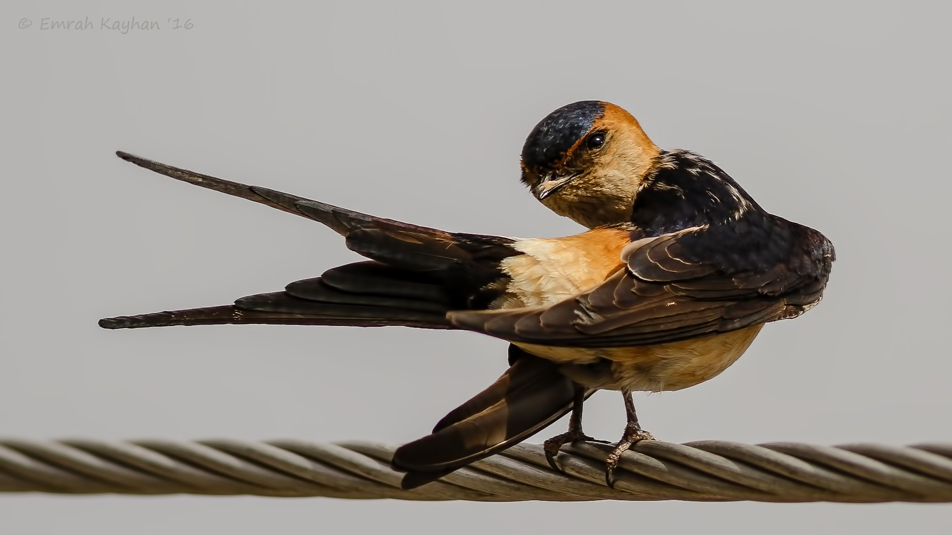 Red-rumped Swallow by EmrahKayhan