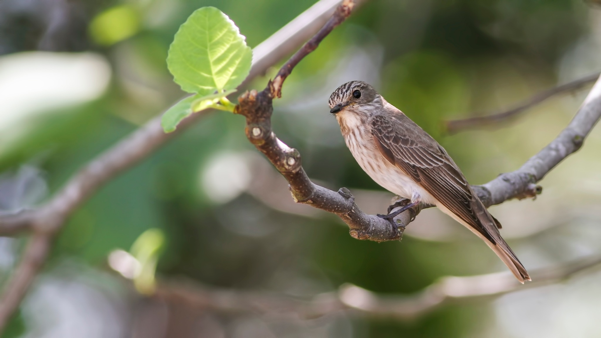 Spotted Flycatcher by EmrahKayhan