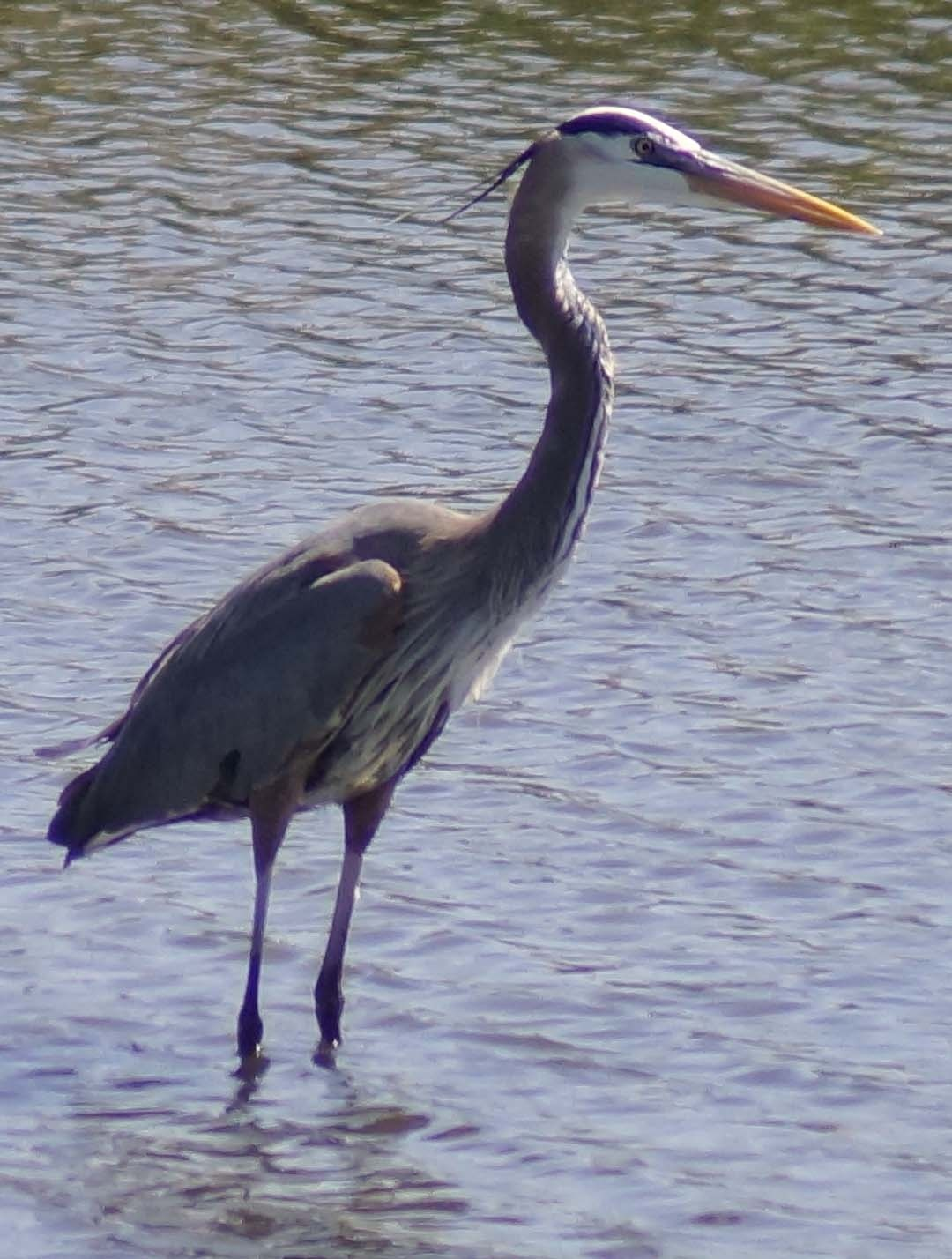 Blue Heron 2 by Barry Phillips