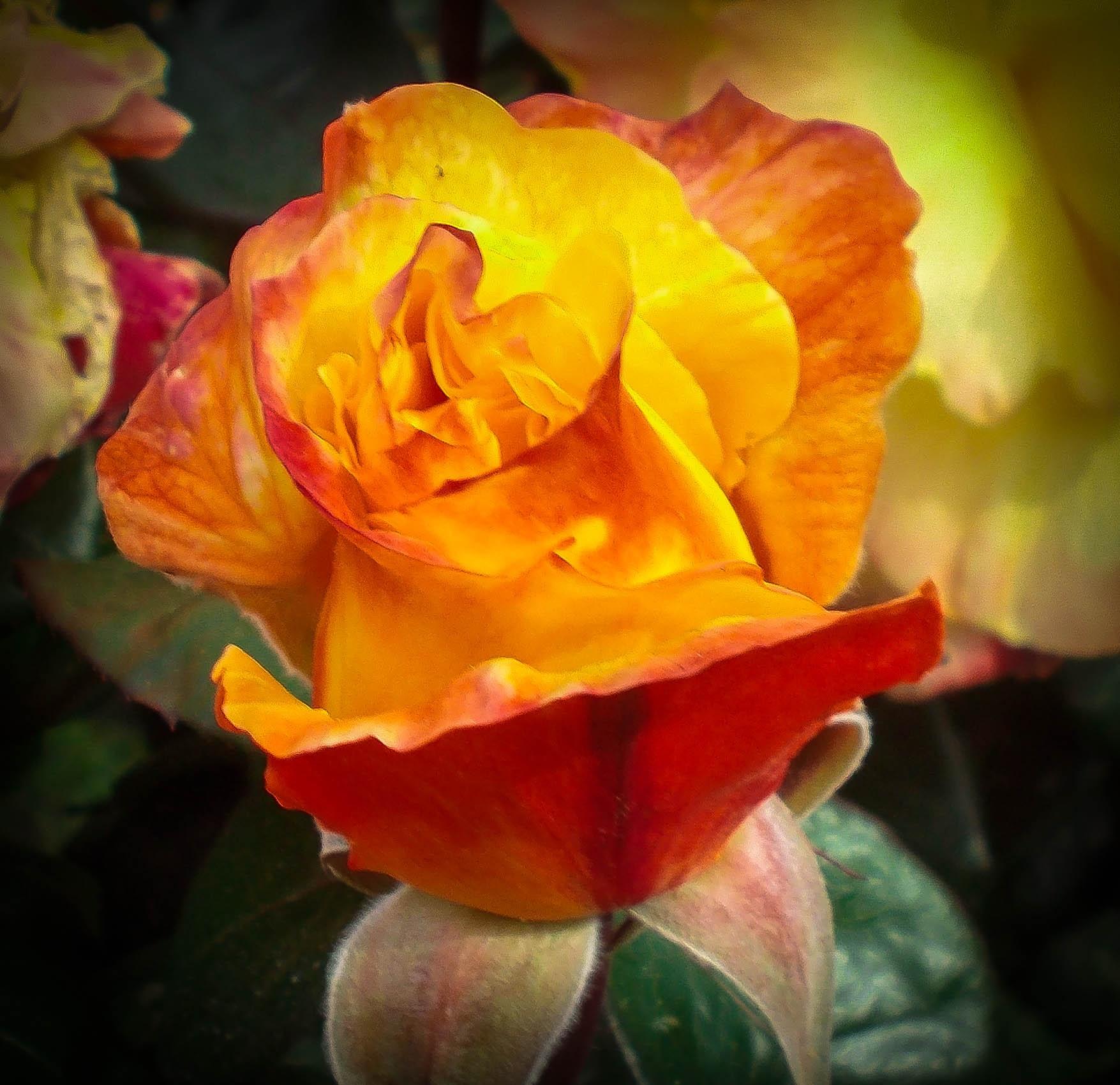rose  by iuliacordeanu