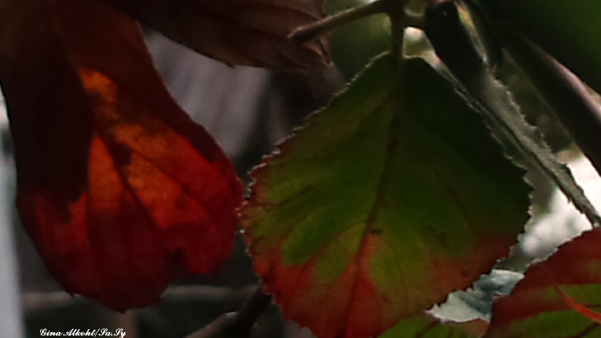 Autumn leaves by Gina Alkoht