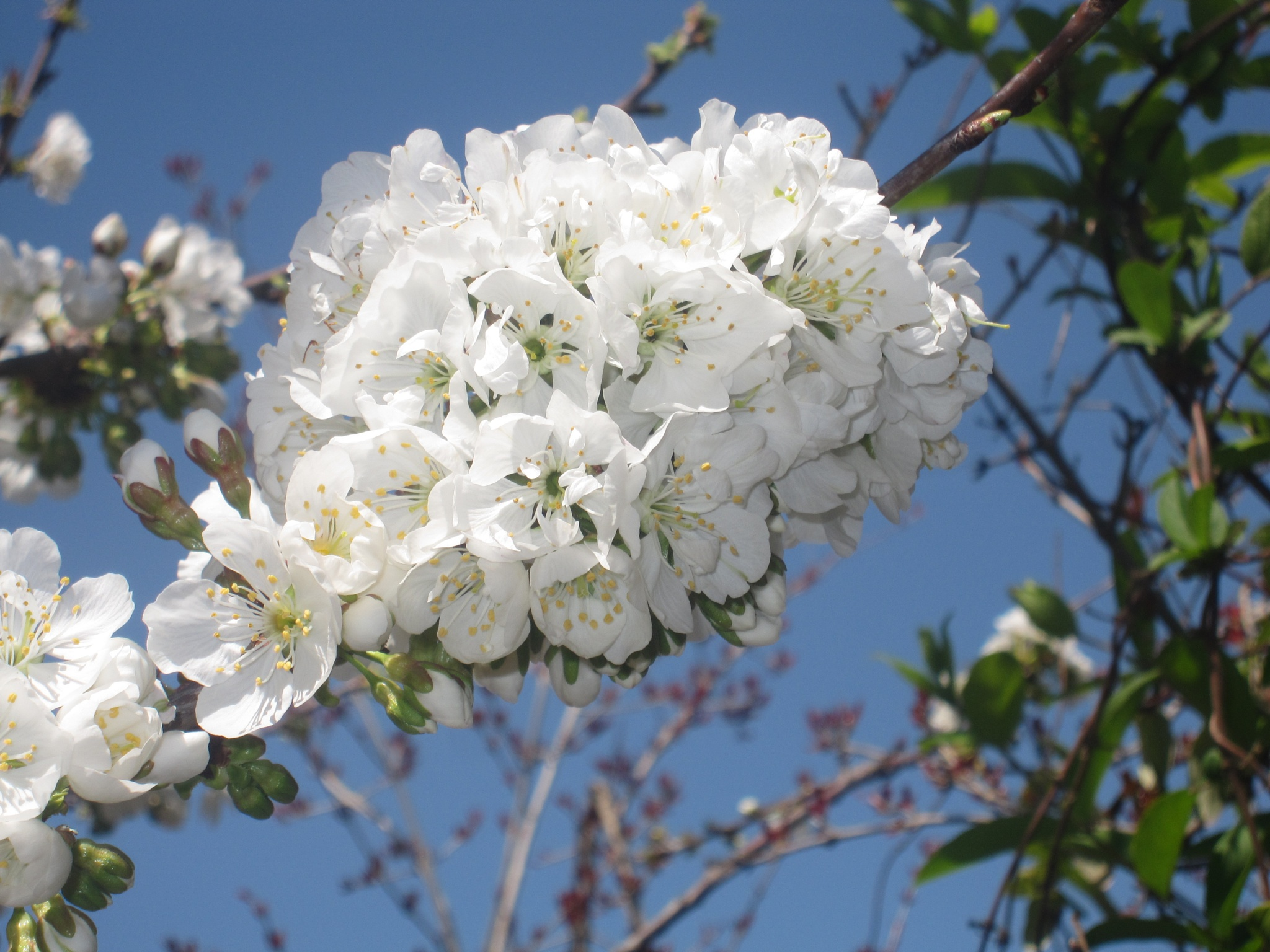 cherry flowers - syria by Rasha Hasan