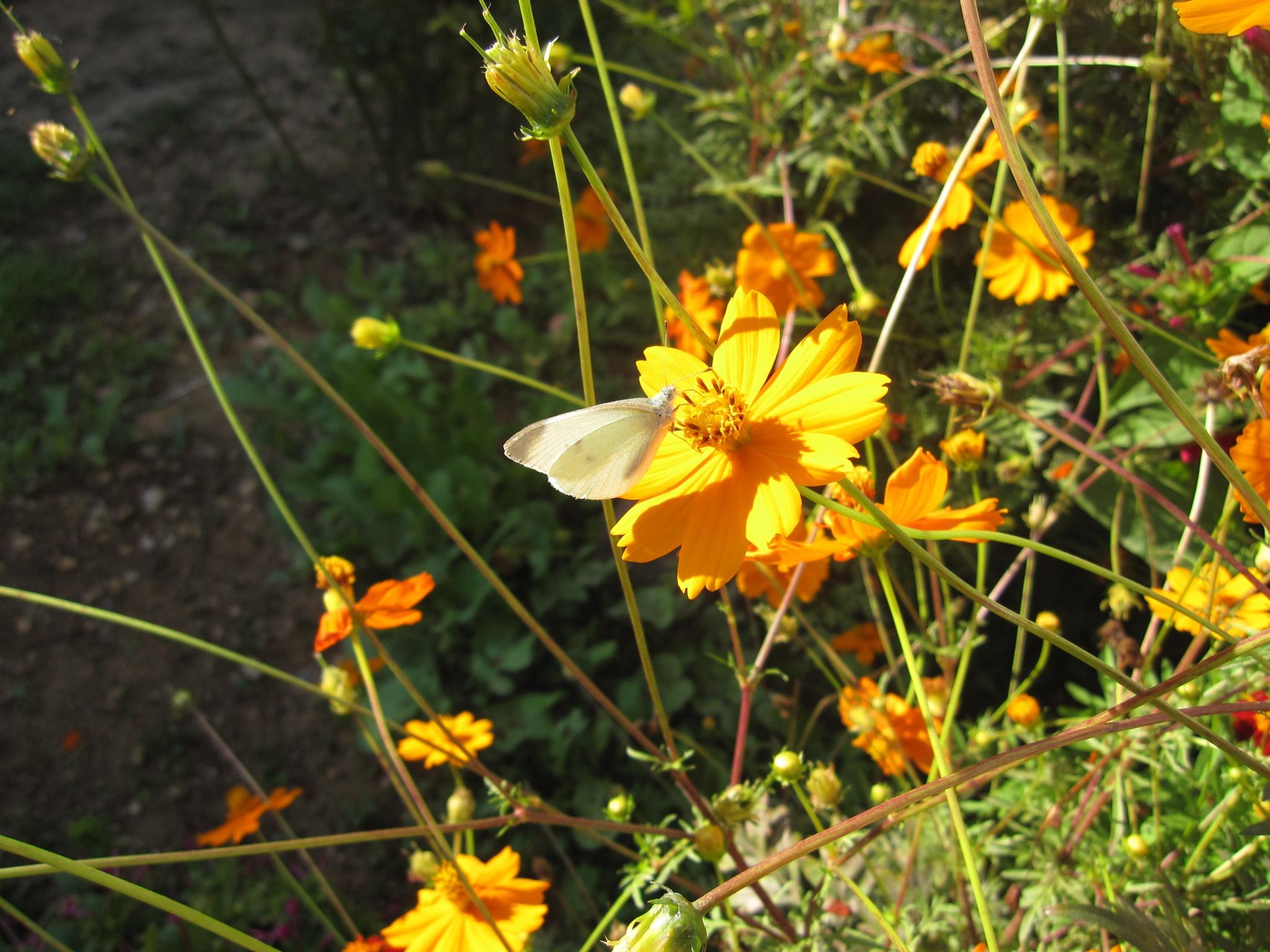 White Butterfly by Rasha Hasan