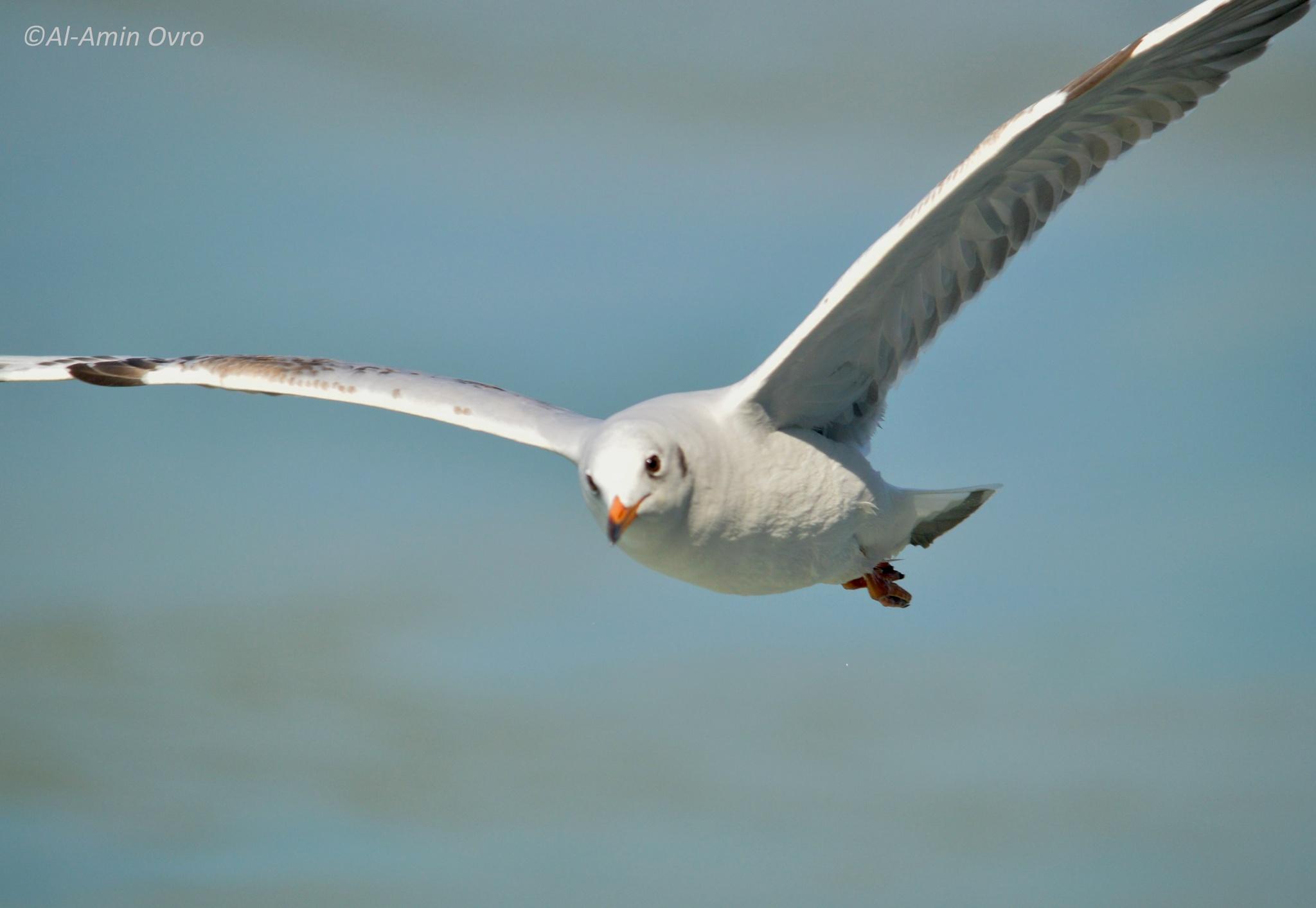 Photo in Animal #bird #flight #sea-bird #flying