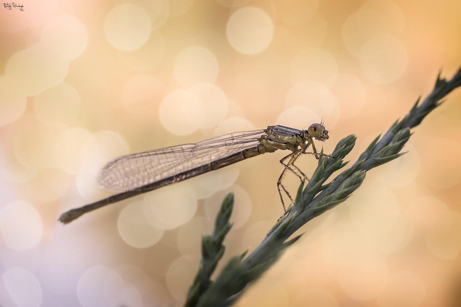Kızböceği by mustafa71