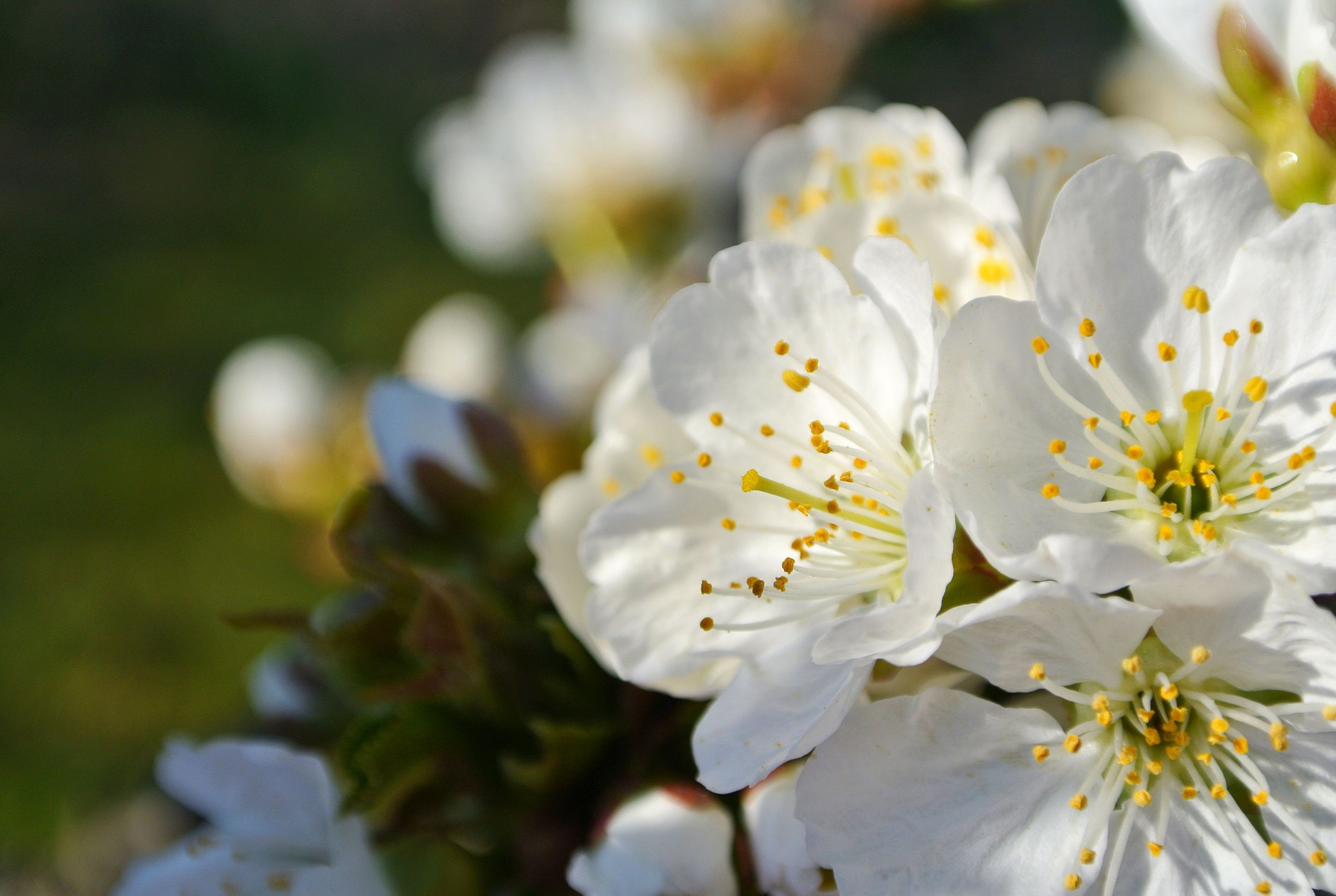 Blooming Sour Cherry by Lilla