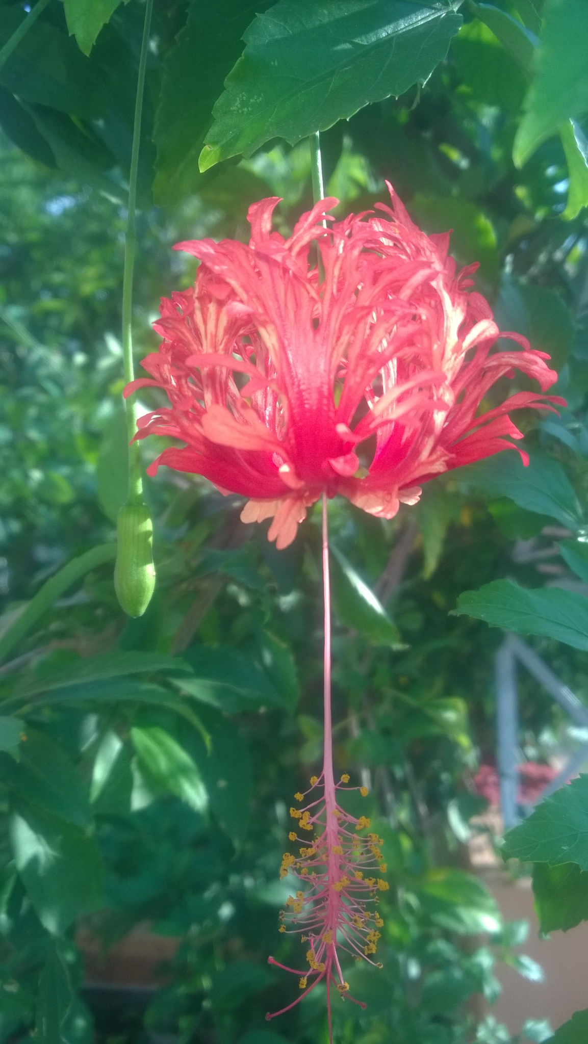 Hibiscus rosa-sinensis  by Yash Yawalkar