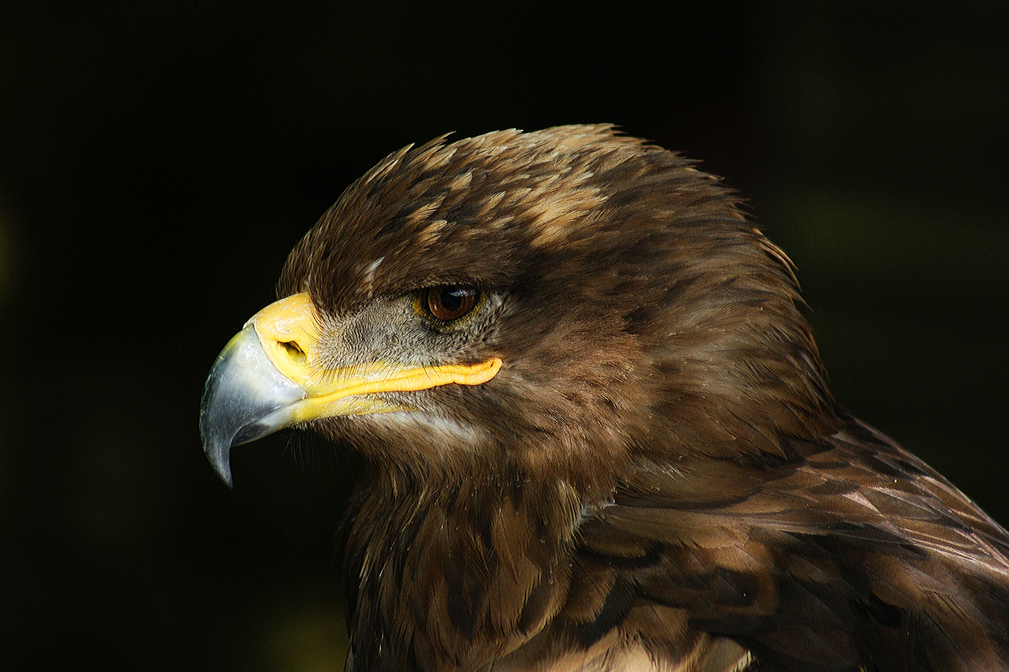 Steppe Eagle by BendTheLens