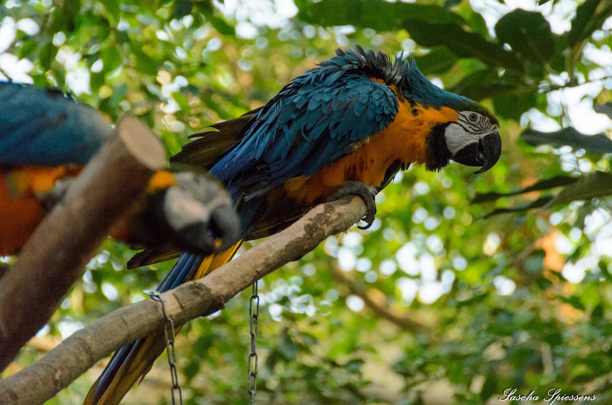 Blauw-gele papegaai by Sascha Spiessens