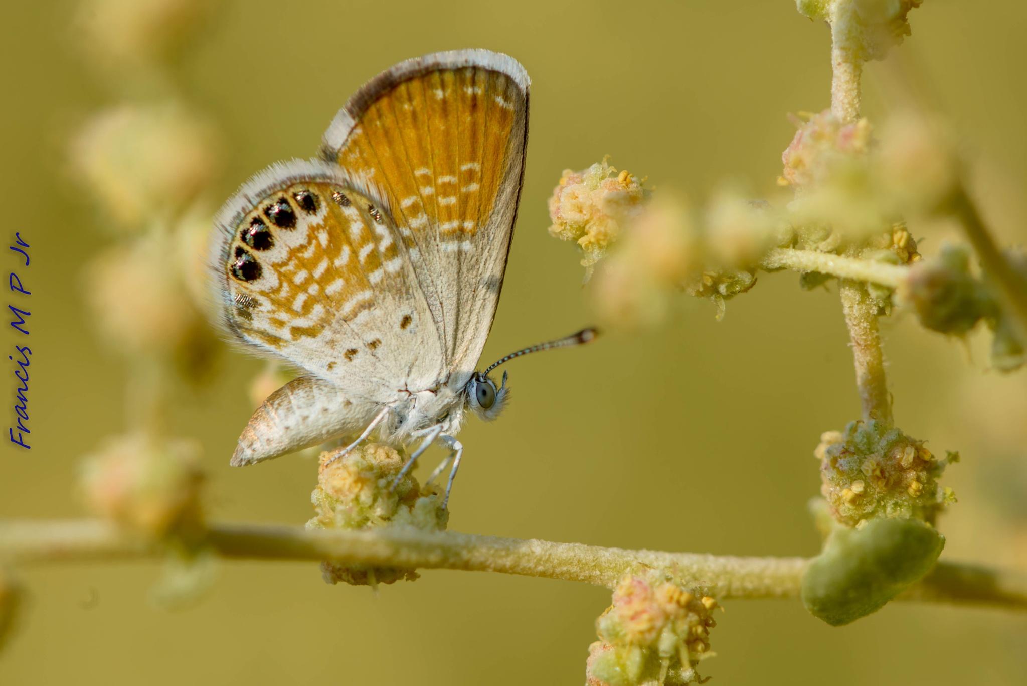 Western Pygmy Blue Butterfly by Francisco M Pastoril Jr