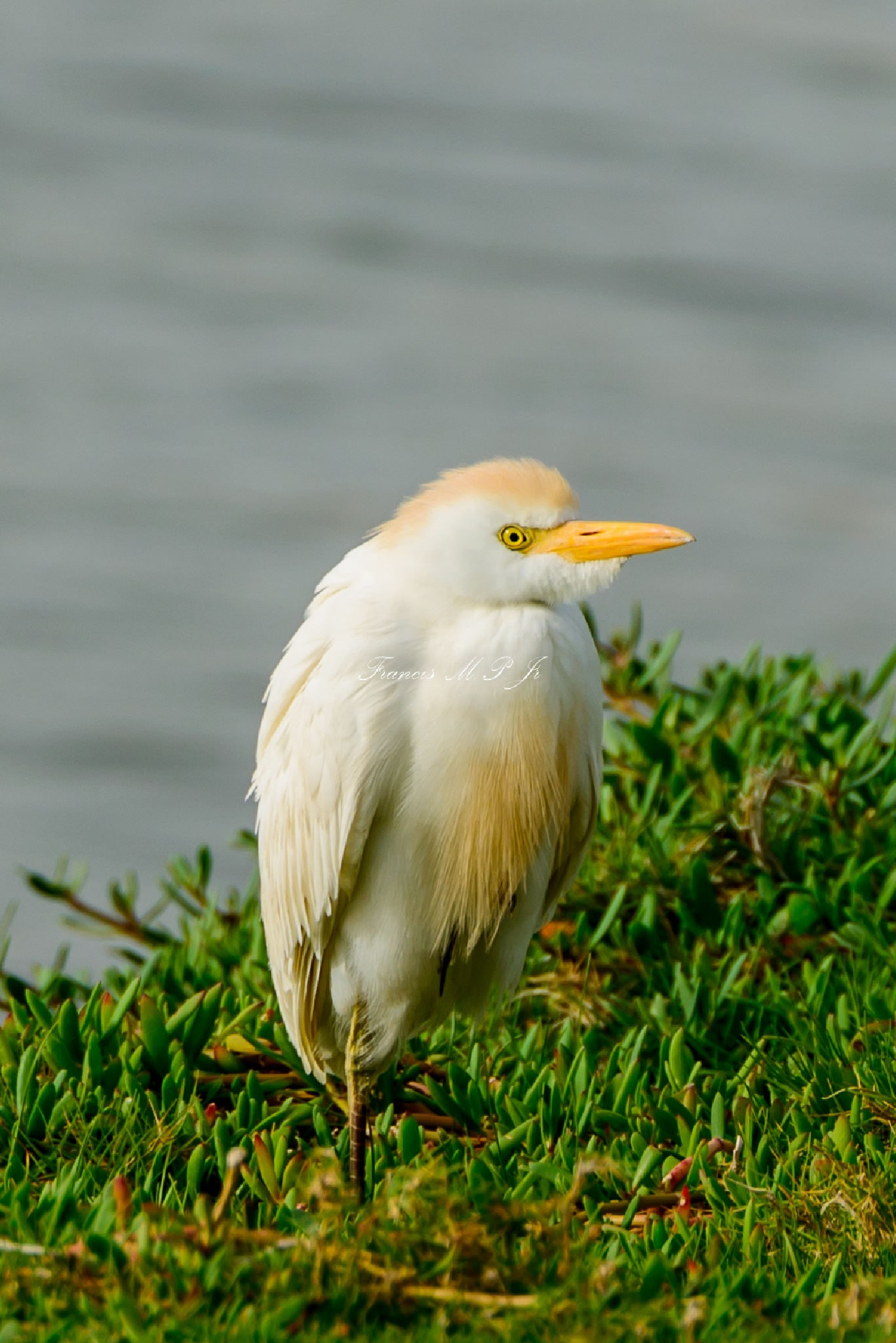 Cattle Egret by Francisco M Pastoril Jr