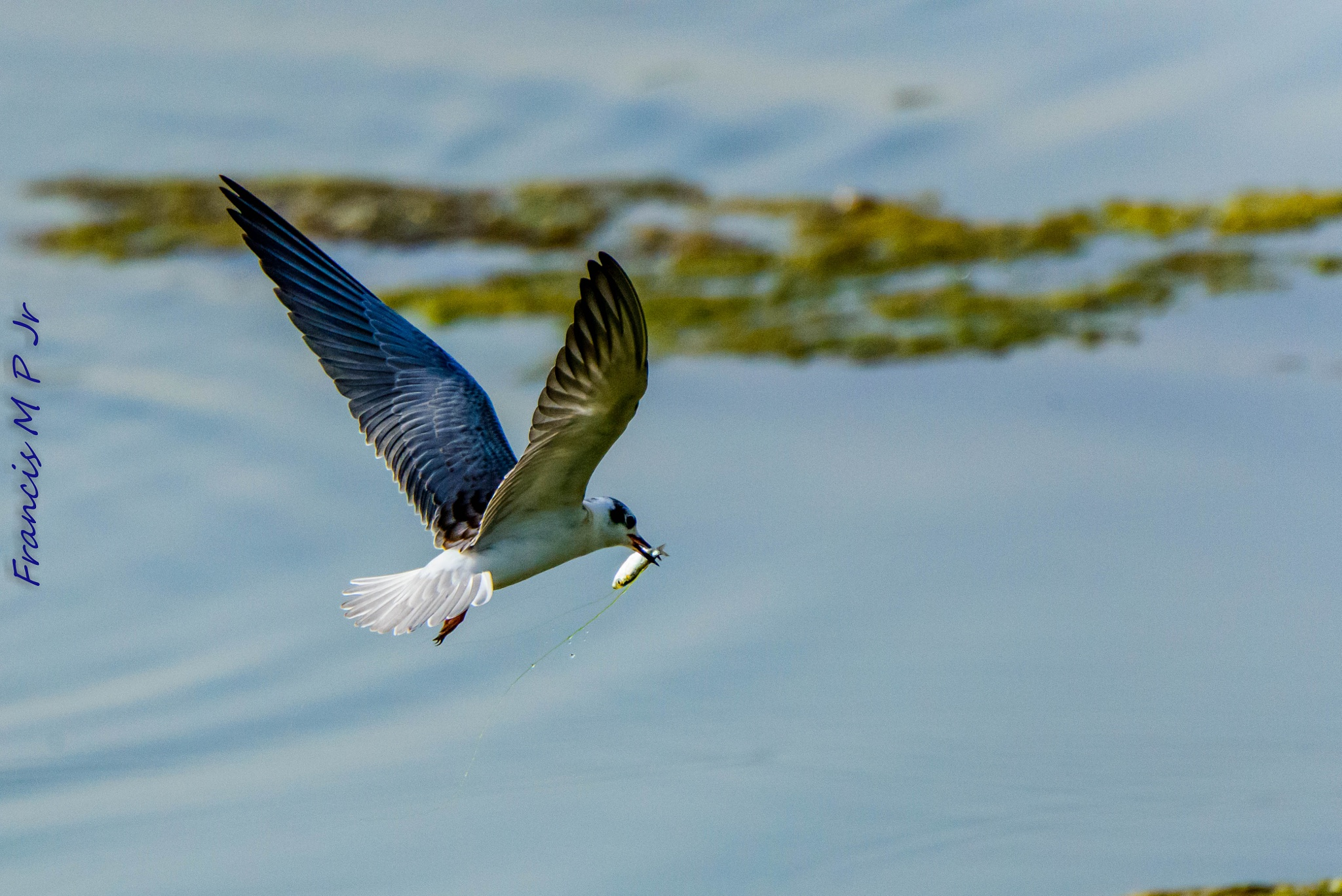 White winged tern by Francisco M Pastoril Jr