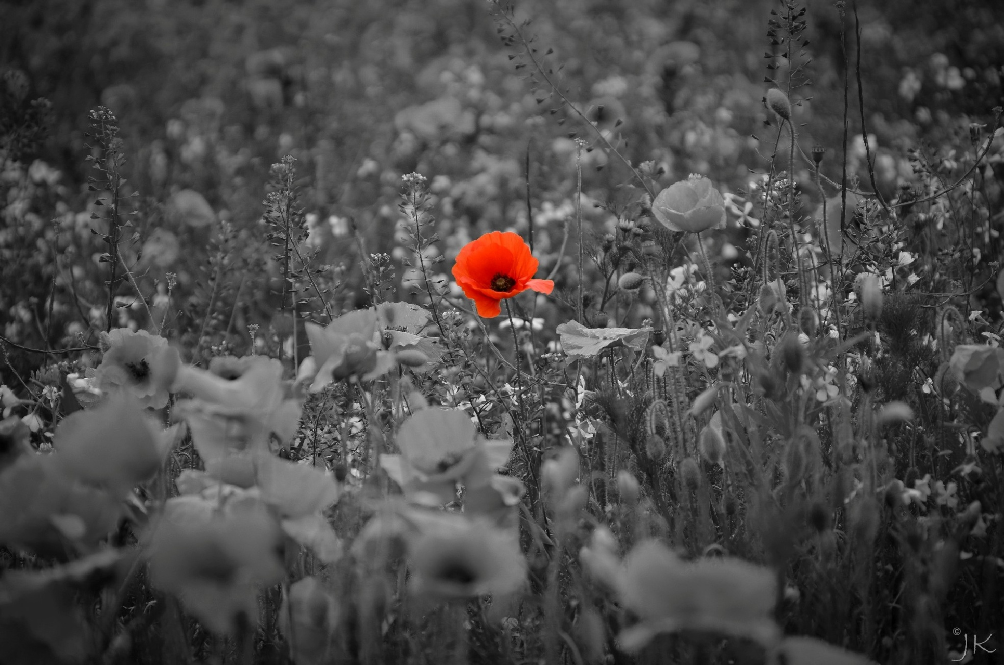 Lone poppy by jonkennard