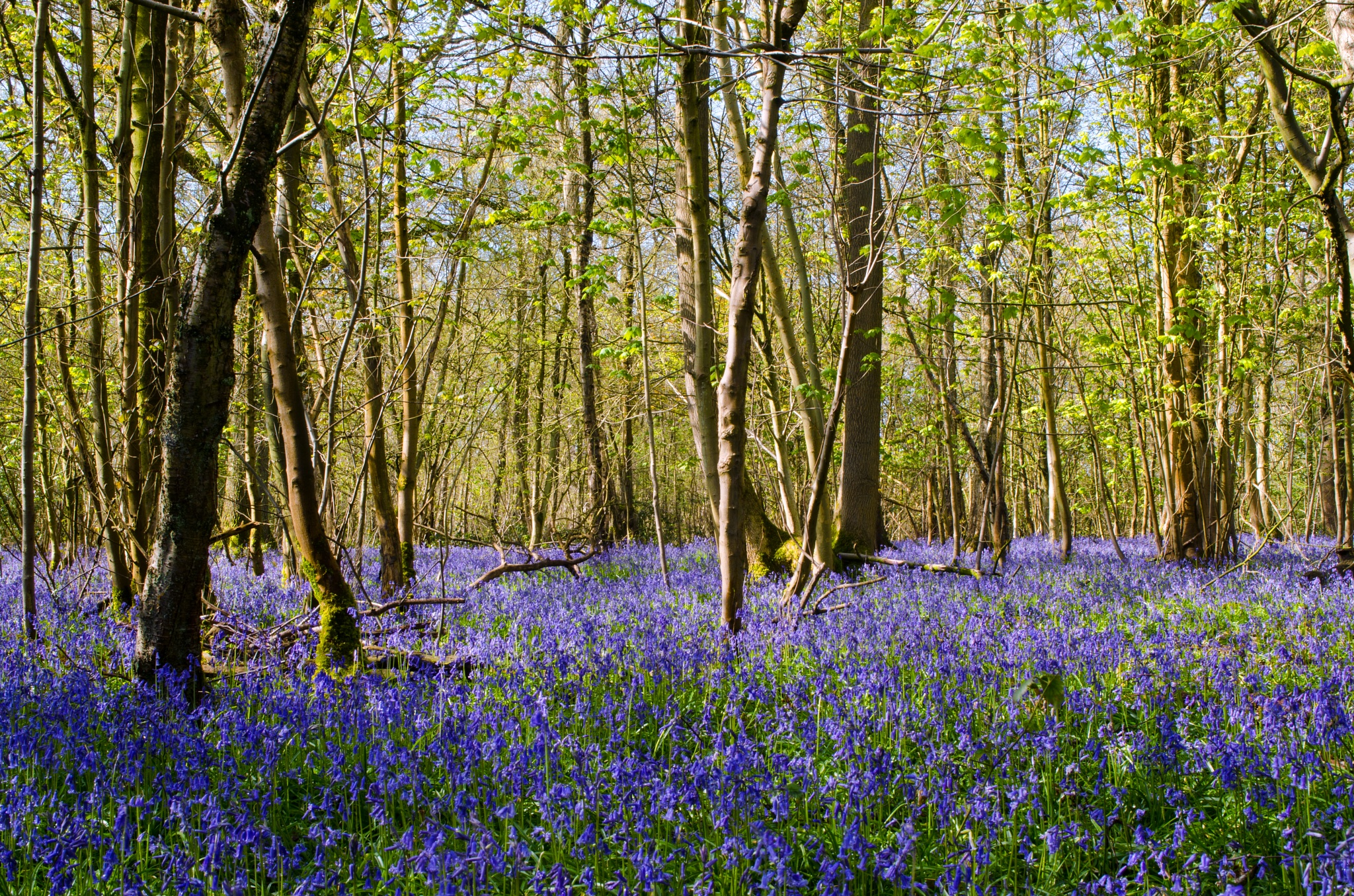 A wander through the bluebell woods (5) by Simon Lea