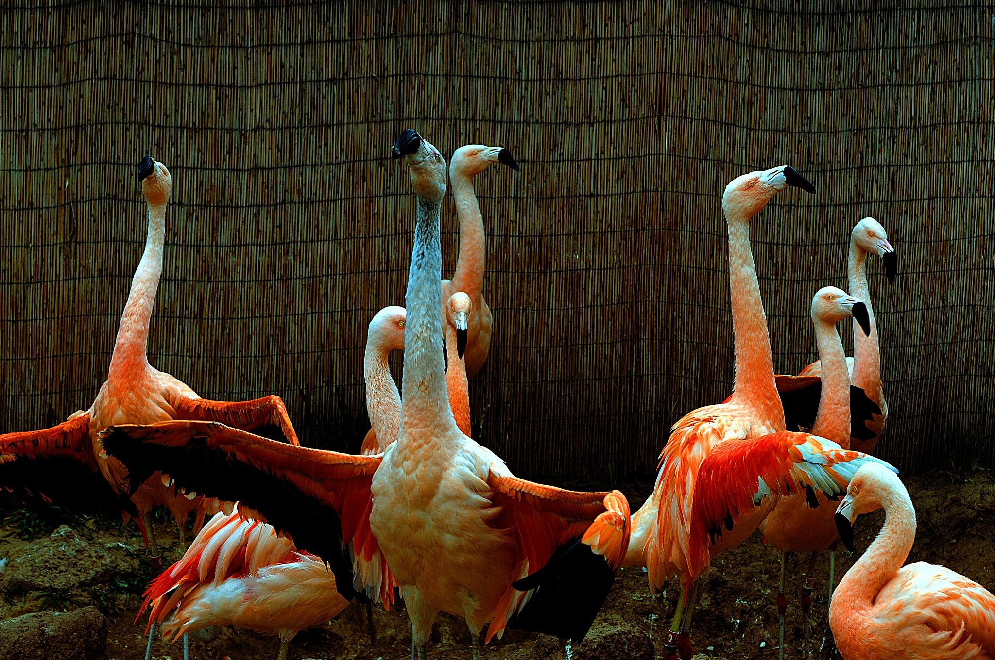 Pink Flamingos by Nelson Sibulo