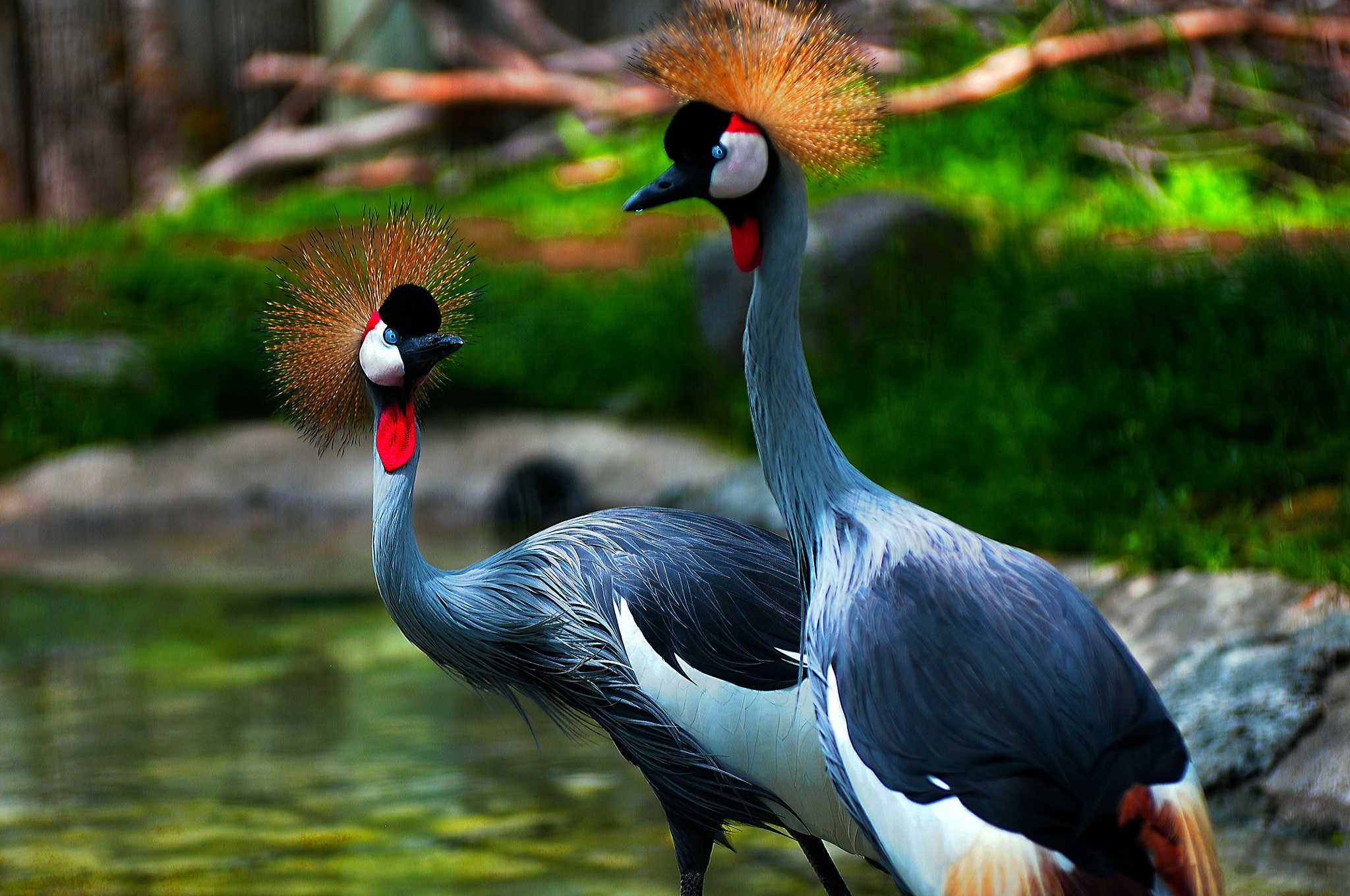 Gray Crowned Cranes- Old favorite by Nelson Sibulo