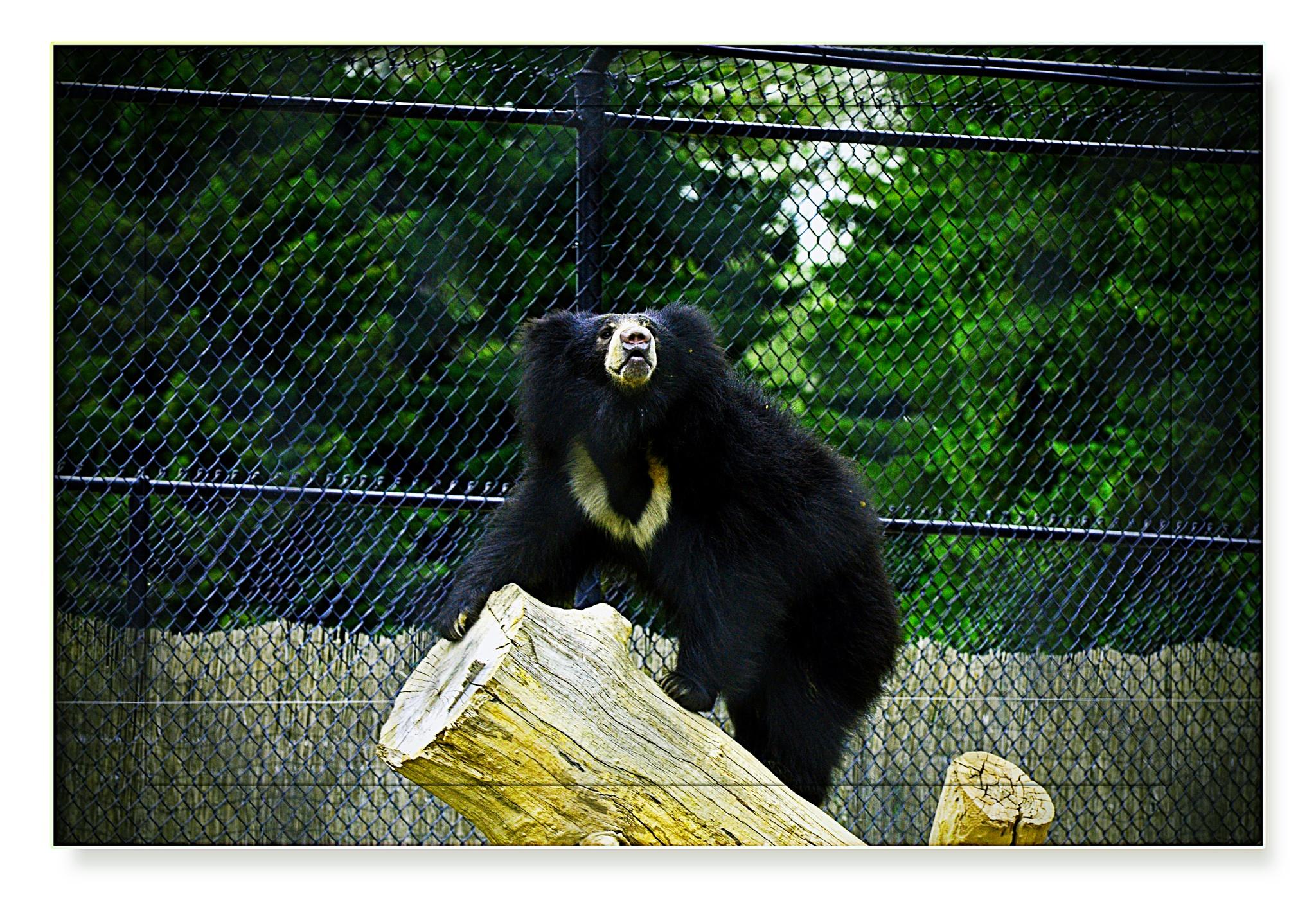 Sloth Bear by Nelson Sibulo