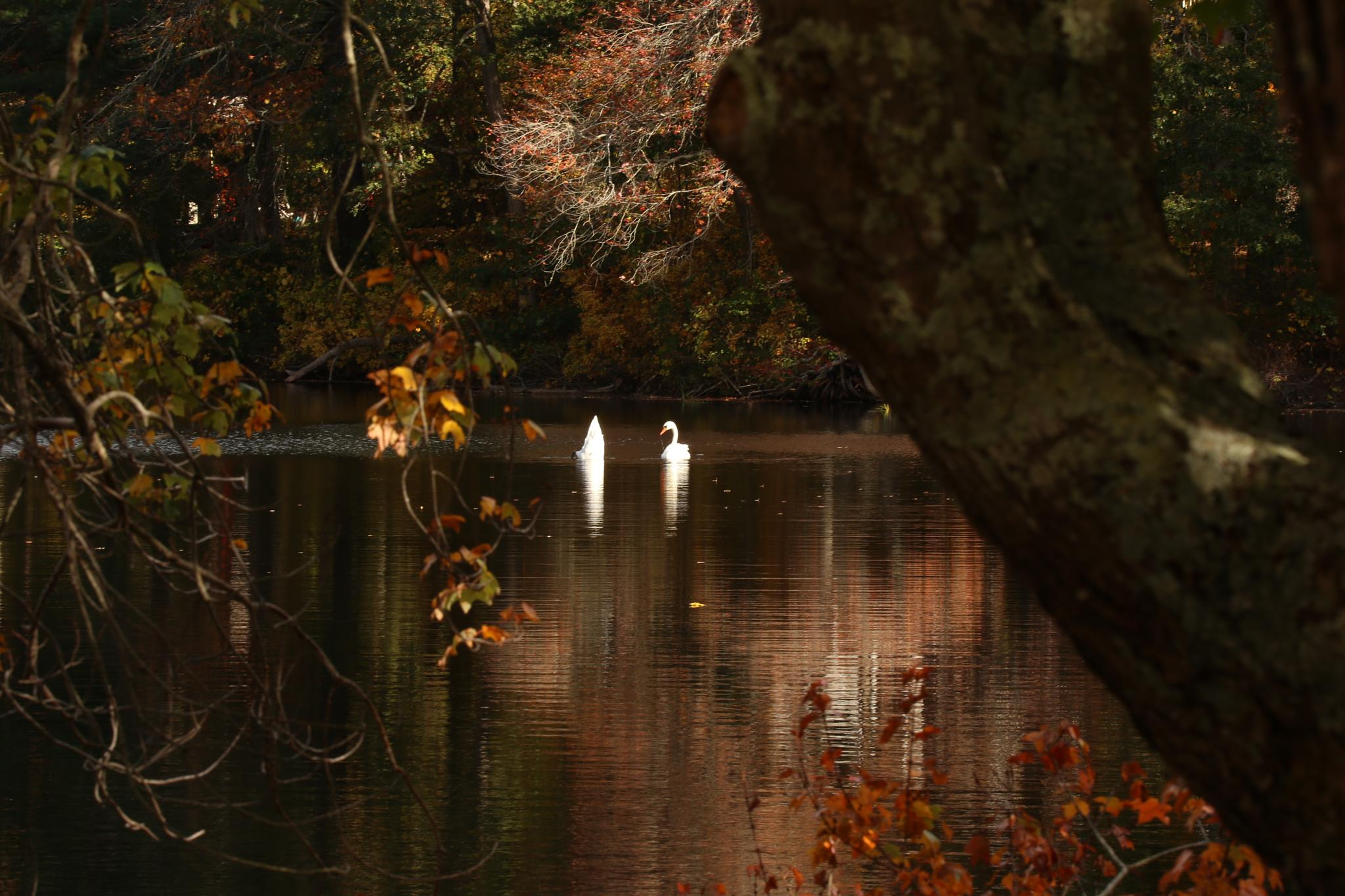 Fall Swans by Clem Walsh Photography
