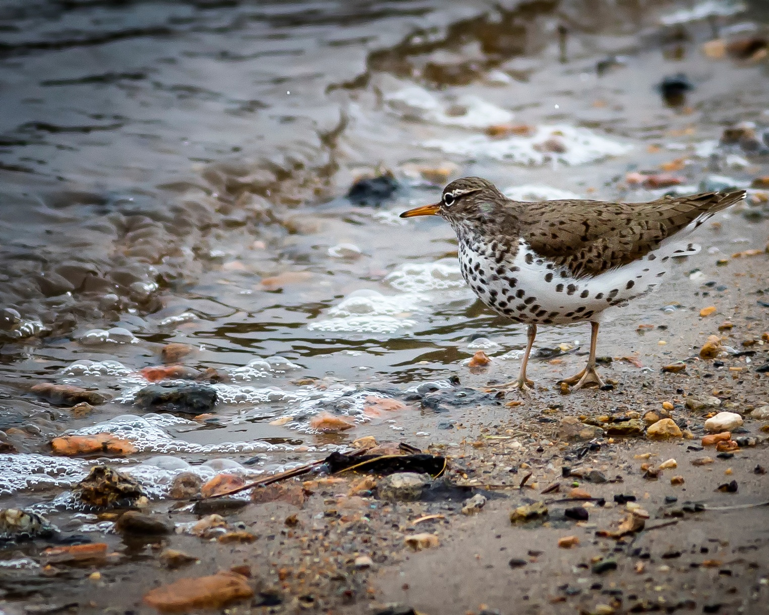 Spotted Sandpiper by Richard Hahn