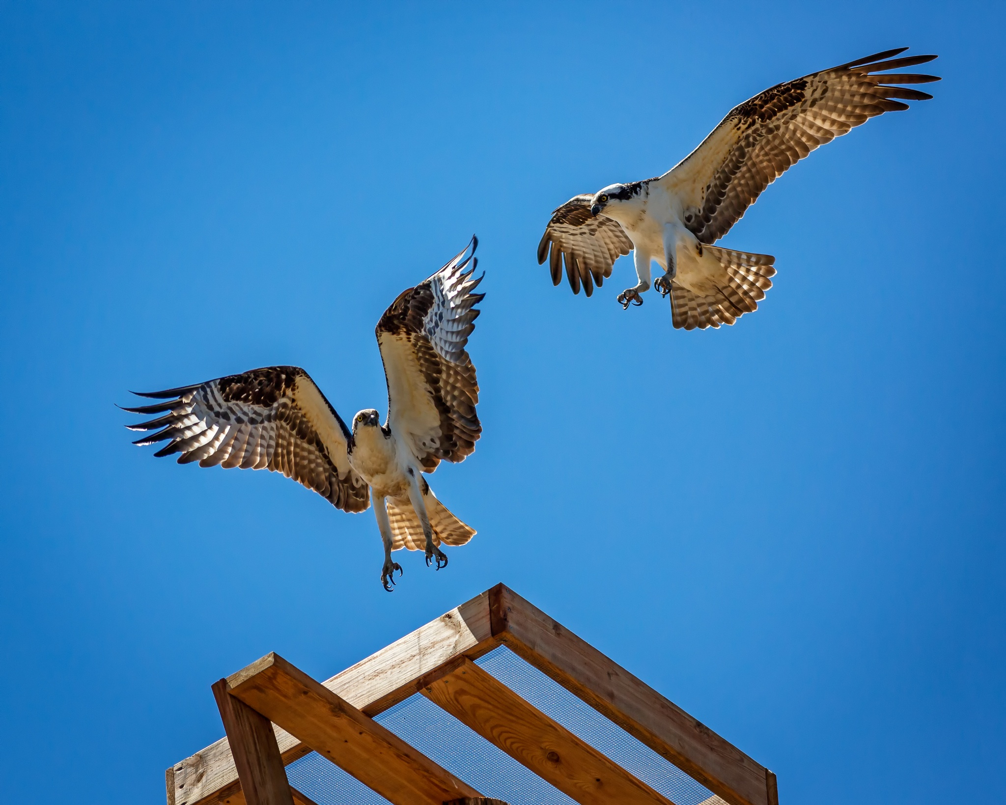 Osprey Pair in Flight by Richard Hahn