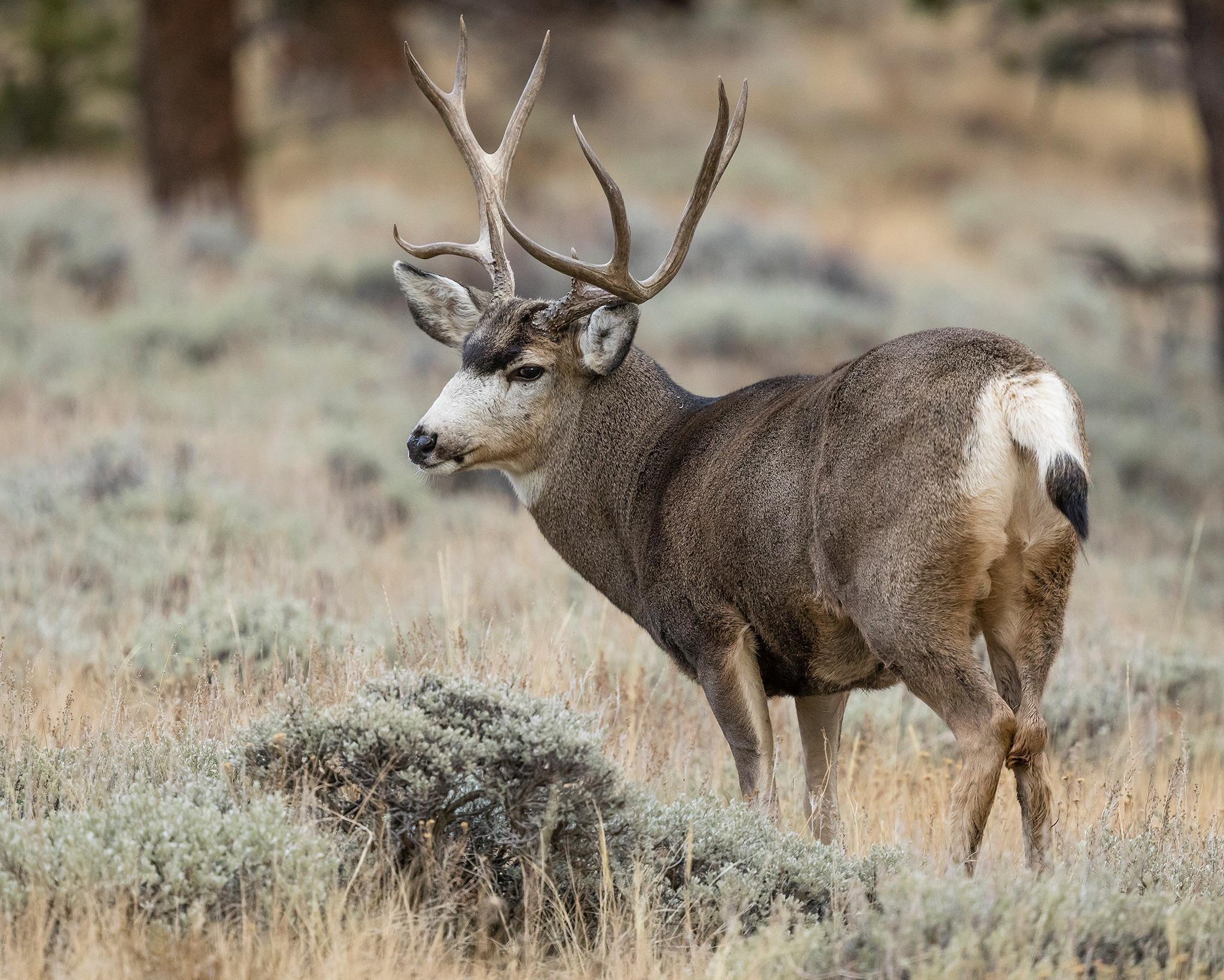 Mule Deer buck on Deer Mountain by Richard Hahn