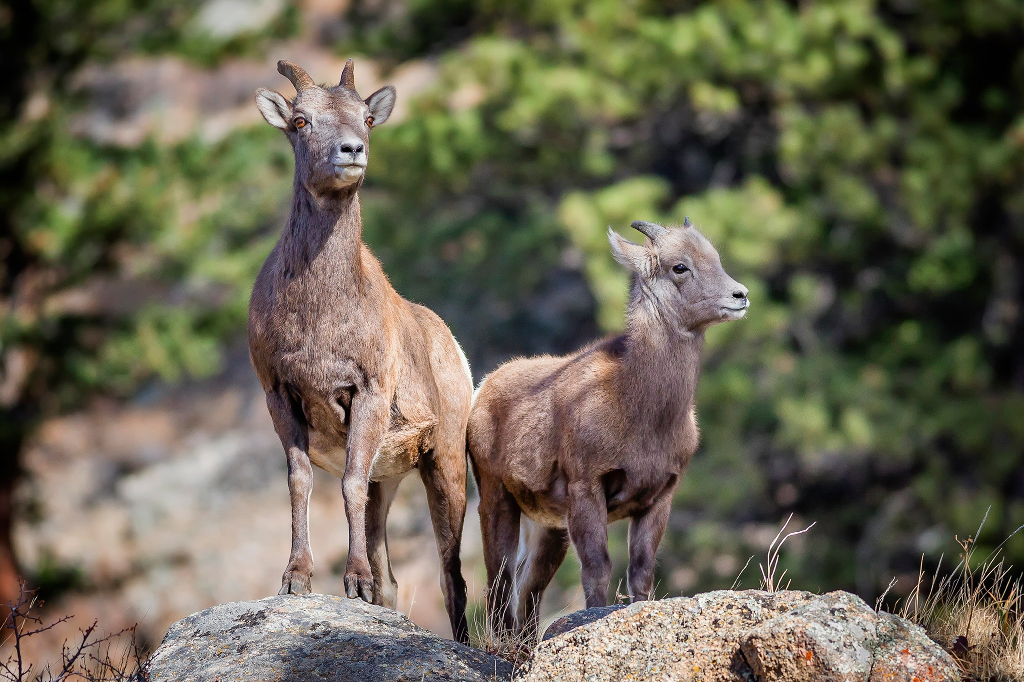 Bighorn Ewe and Yearling Lamb by Richard Hahn