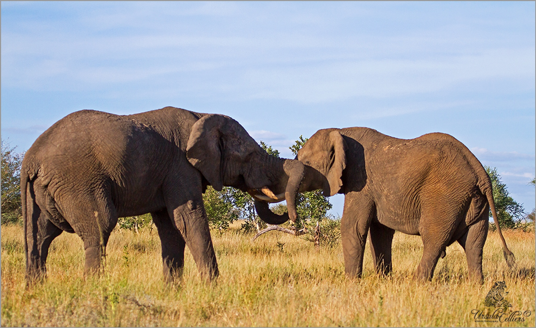 Playfull Elephants by Ursula Celliers - Wildlife Photography