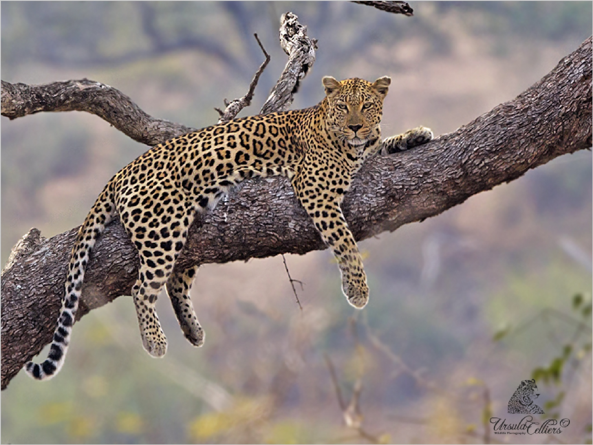 Resting Leopard by Ursula Celliers - Wildlife Photography