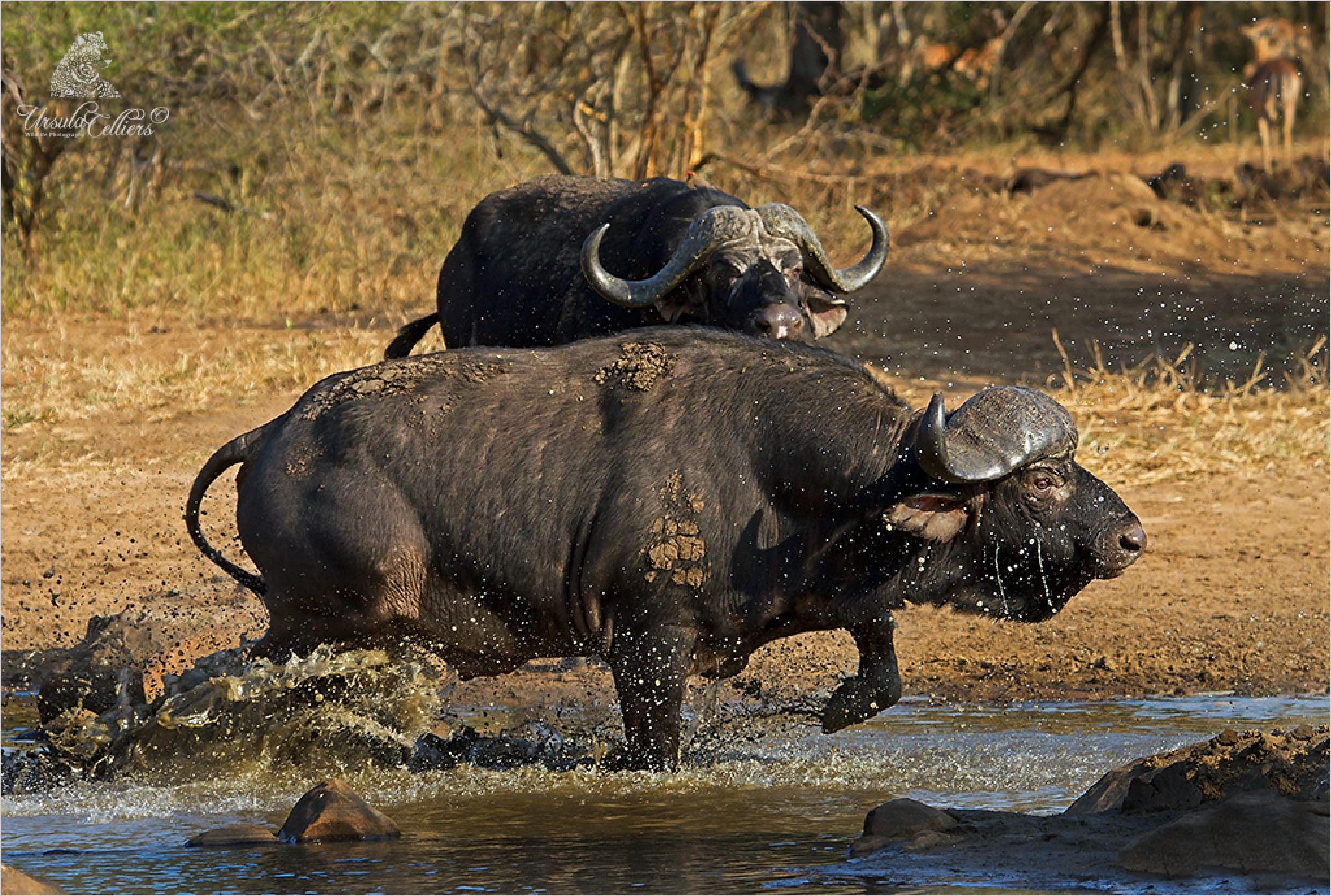 Buffalo by Ursula Celliers - Wildlife Photography