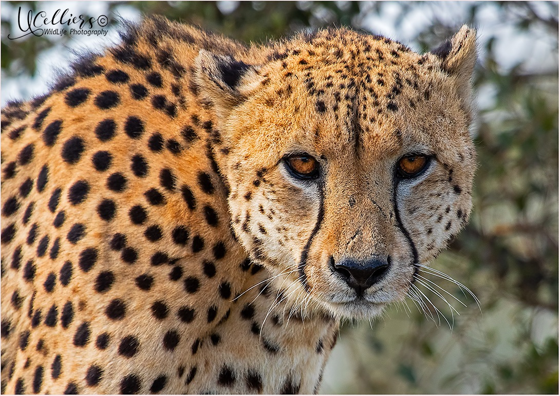 Cheetah closeup by Ursula Celliers - Wildlife Photography