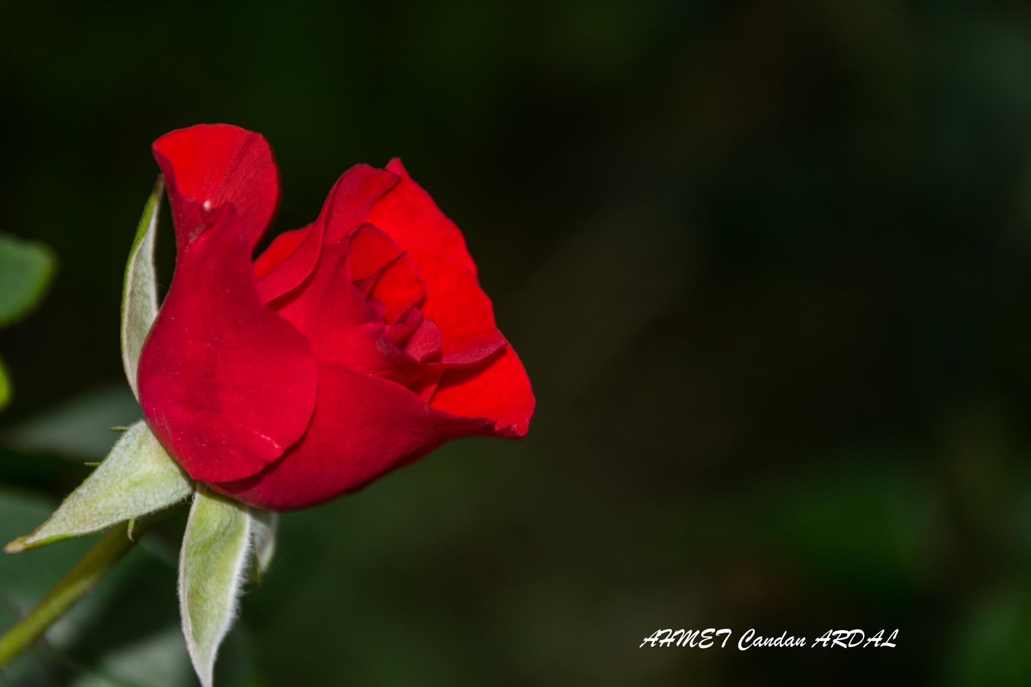 RED ROSE. by ahmetcandanardal