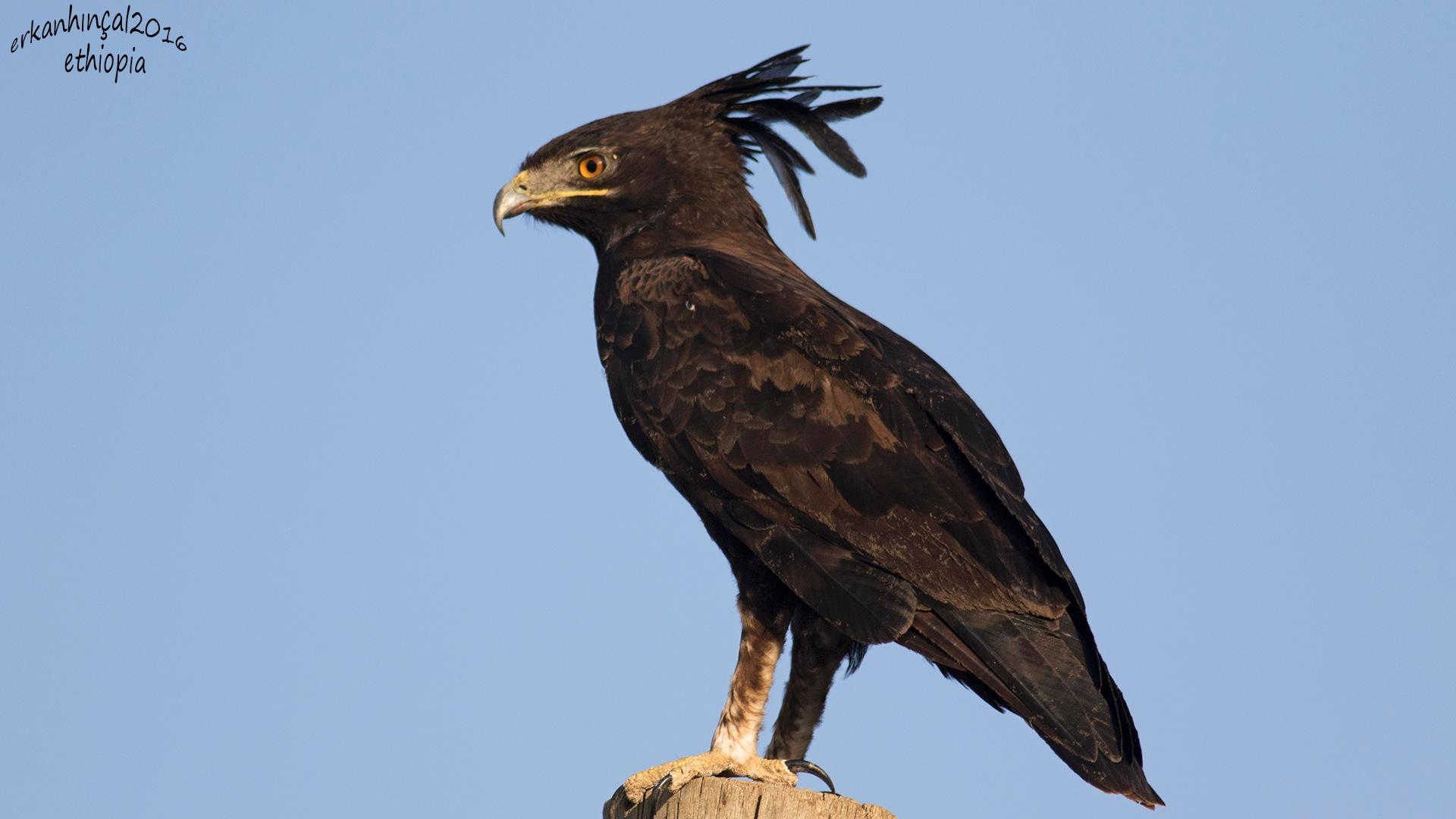 long-crested eagle by ŞAMİL erkanhincal