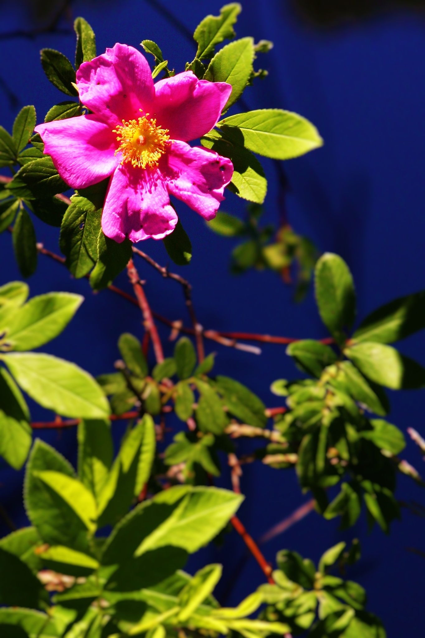 Wild Rose by  Houston Photography Studio