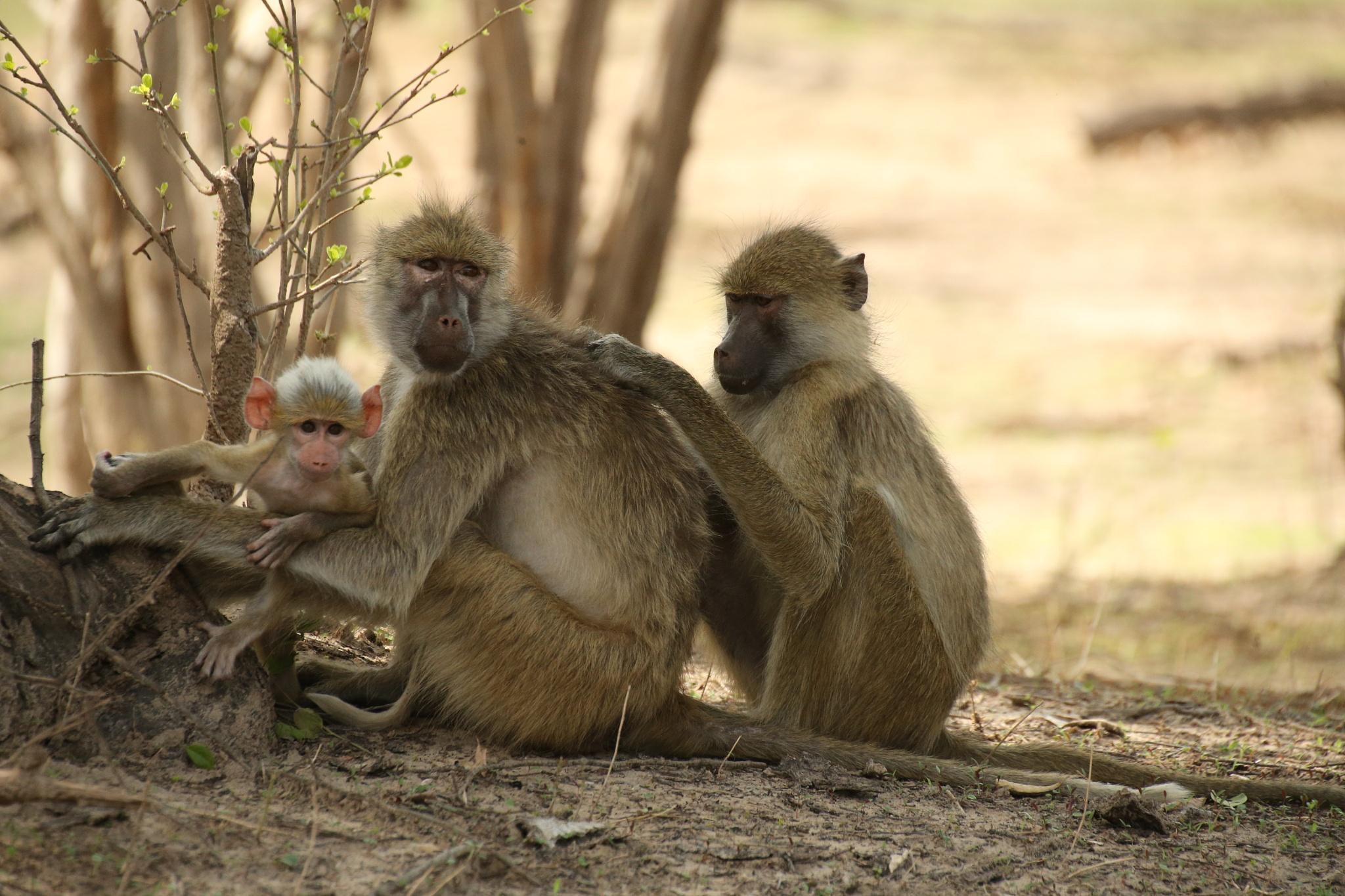 Baboons by Steve Brammall