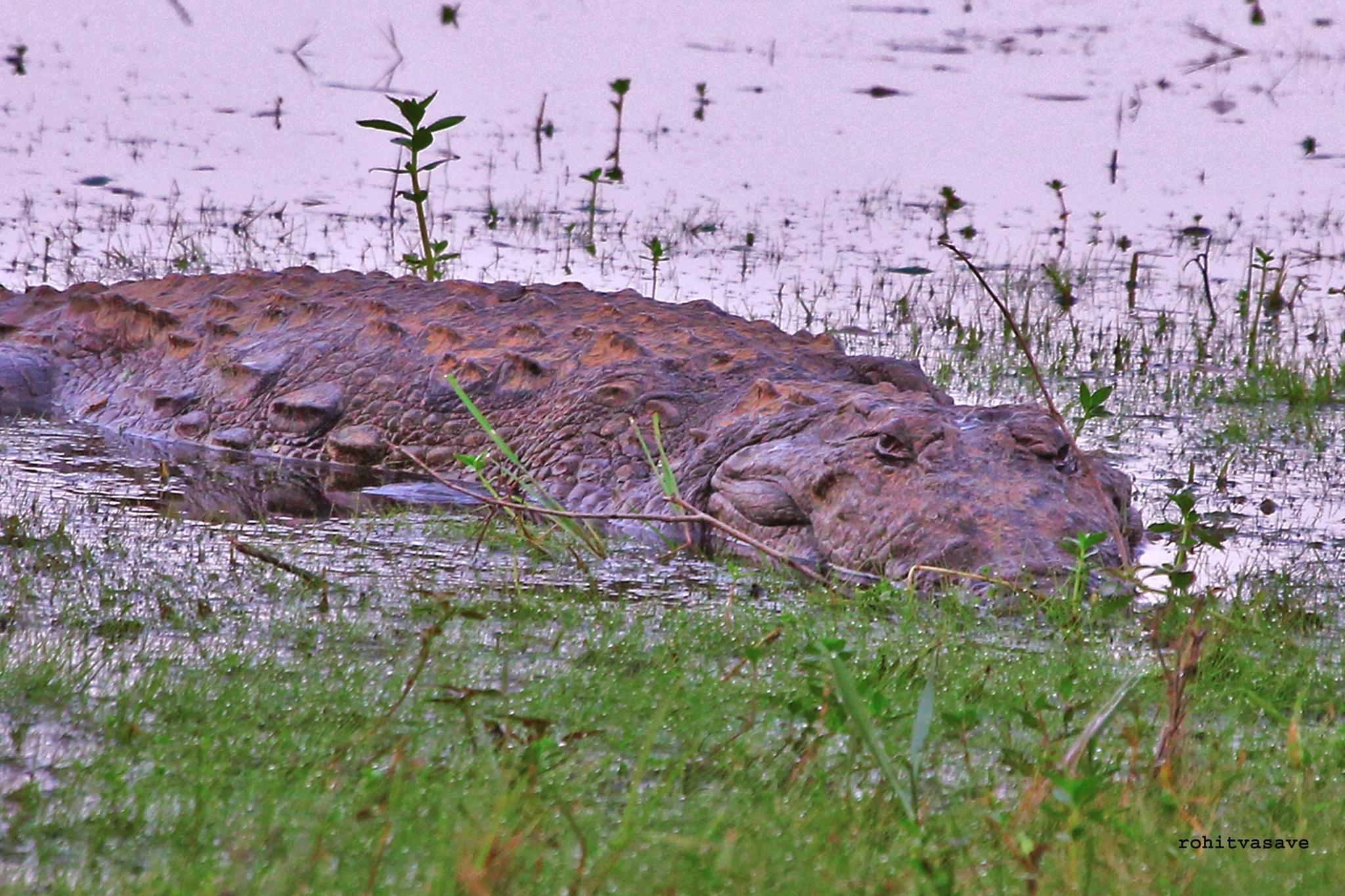 Crocodile .... by rohitvasave
