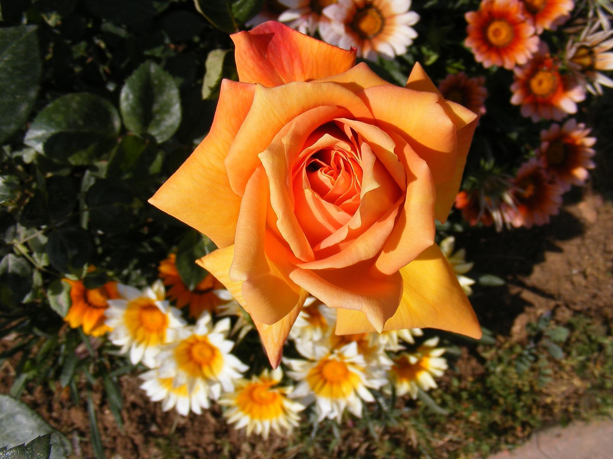 Rose by Demet Alper
