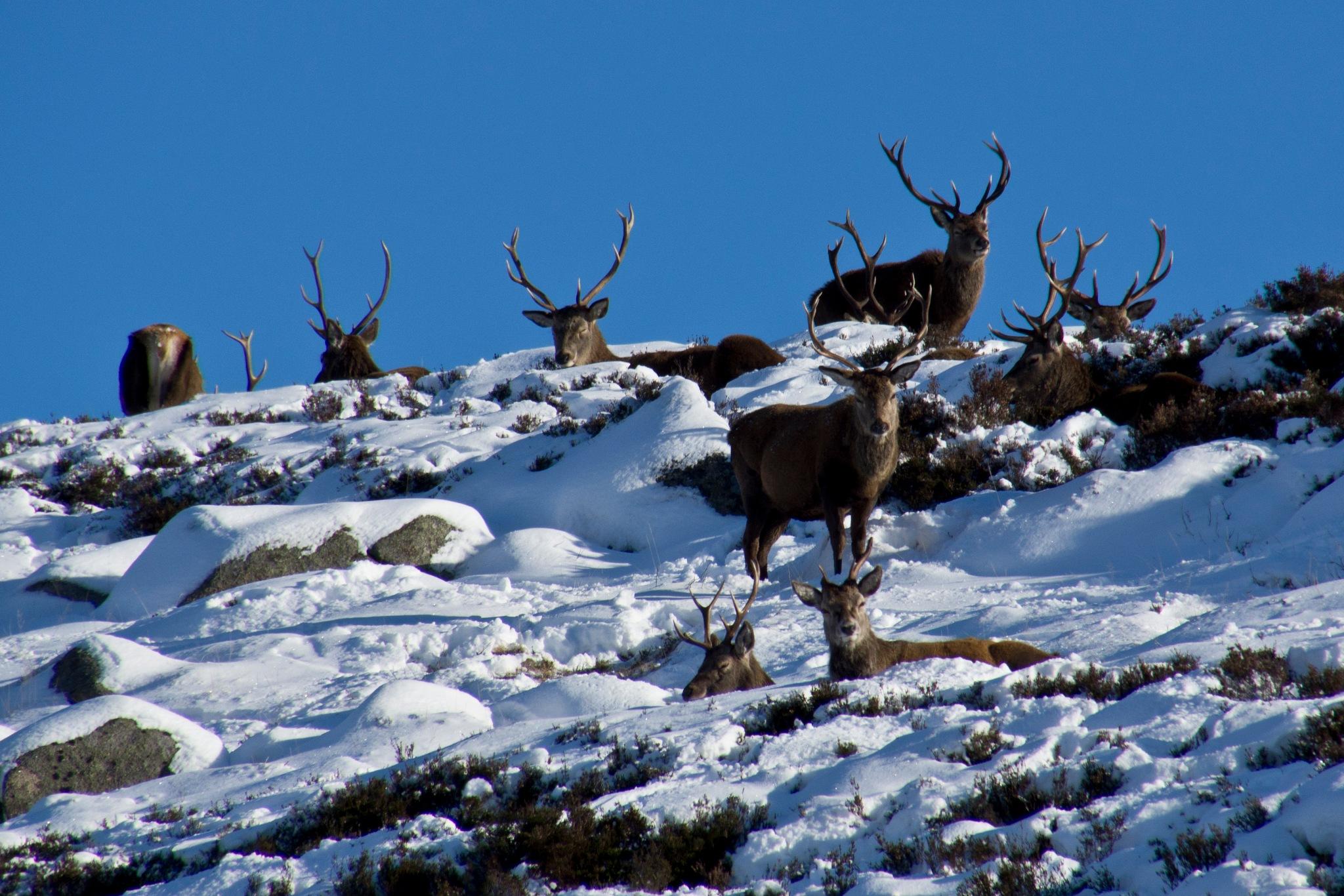 Photo in Nature #aberdeenshire #scotland #scottish highlands #highlands #winter #snow #animal #nature #wildlife #deer #red deer