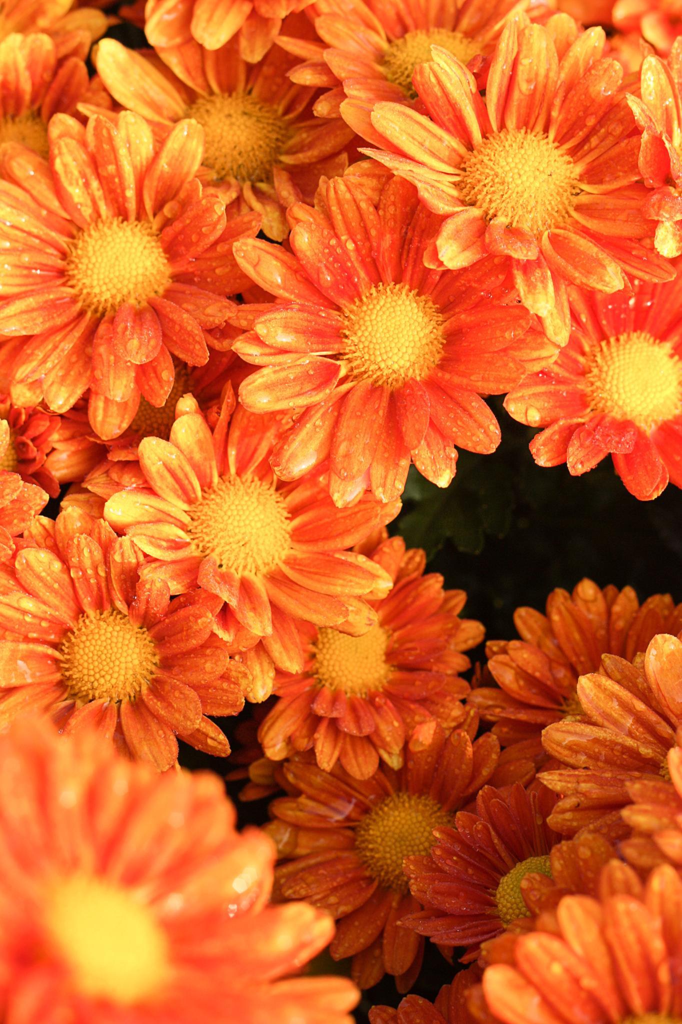 the orange flower  by samrithnalumpoon