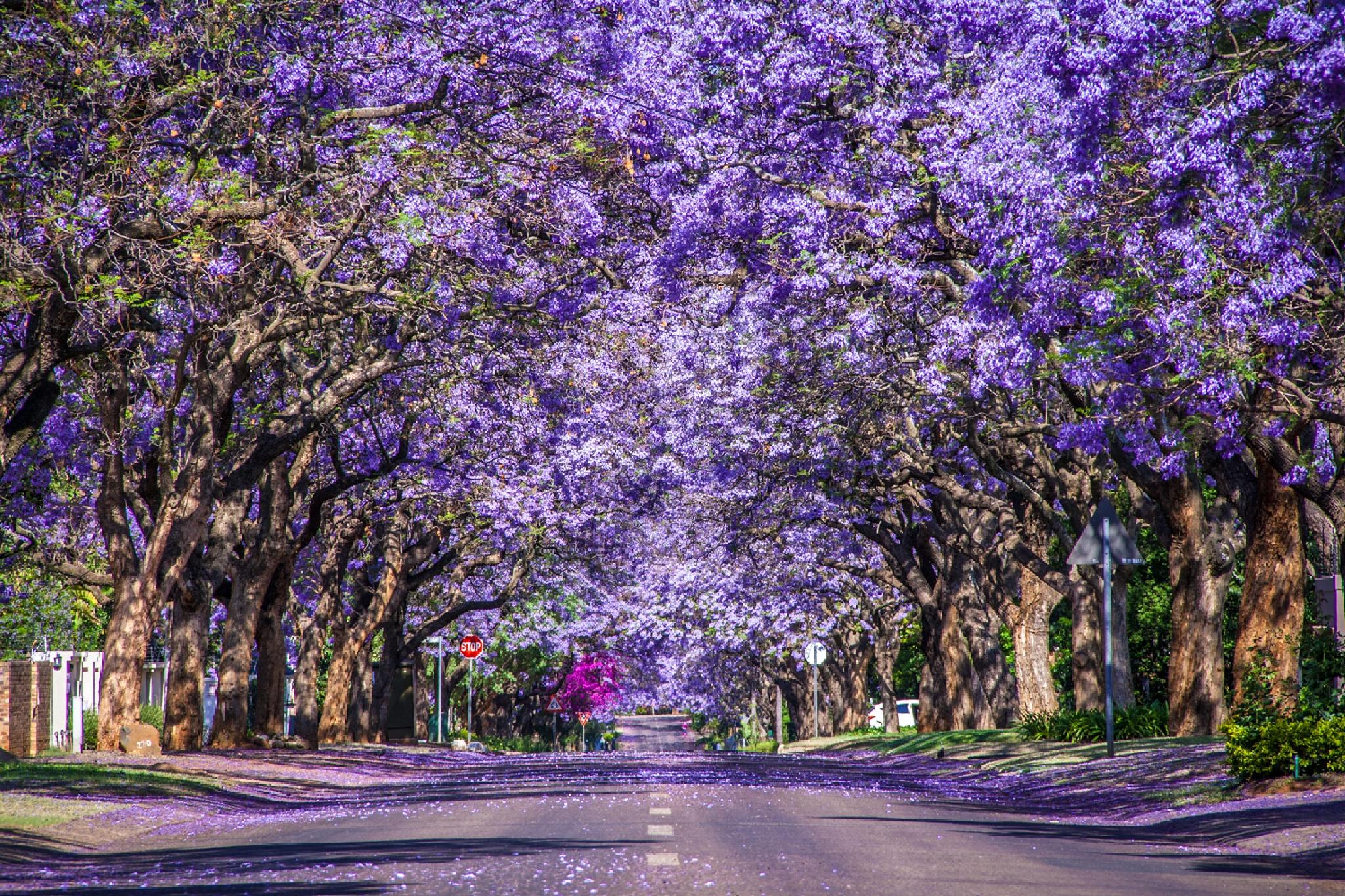 Jacaranda lined street by Vanessa Bentley