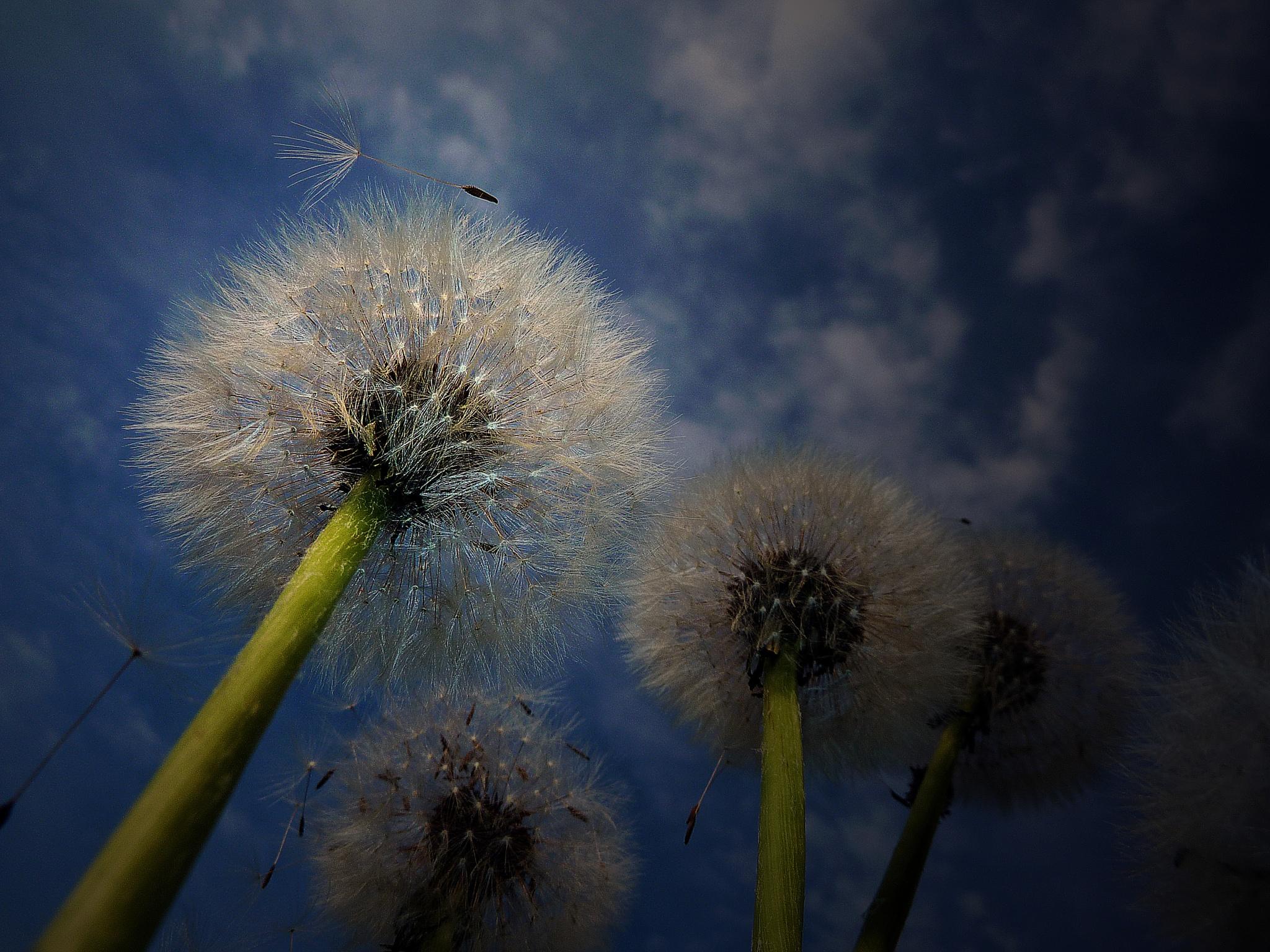 dandelion in light by Aleph61