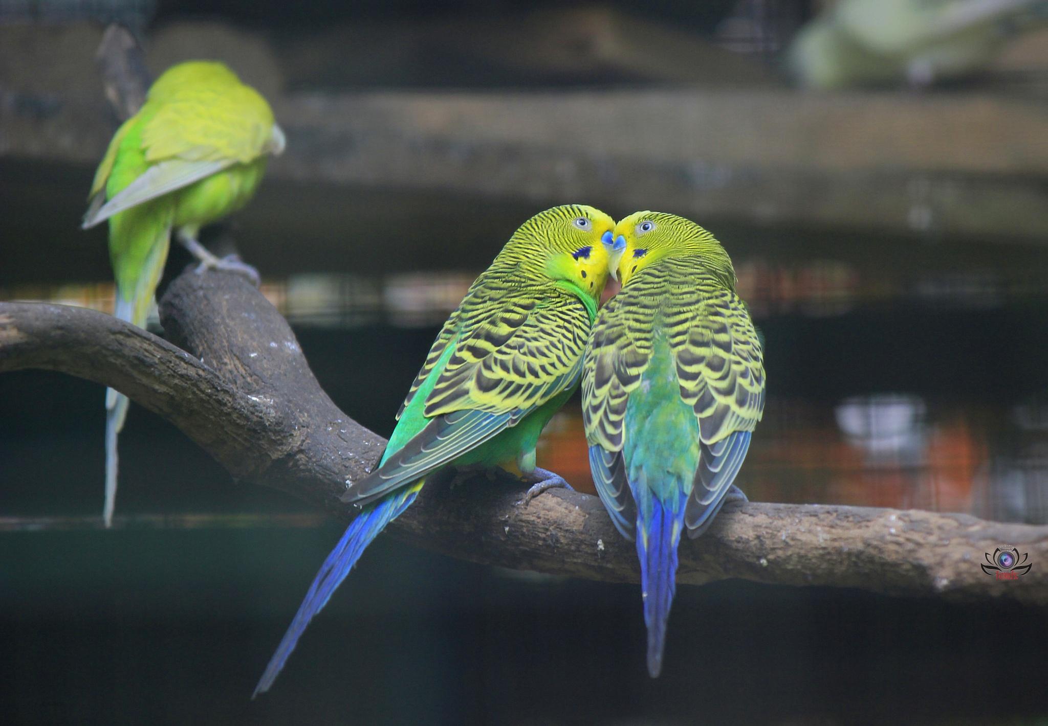 Parkit Bird by Fathur Fsc