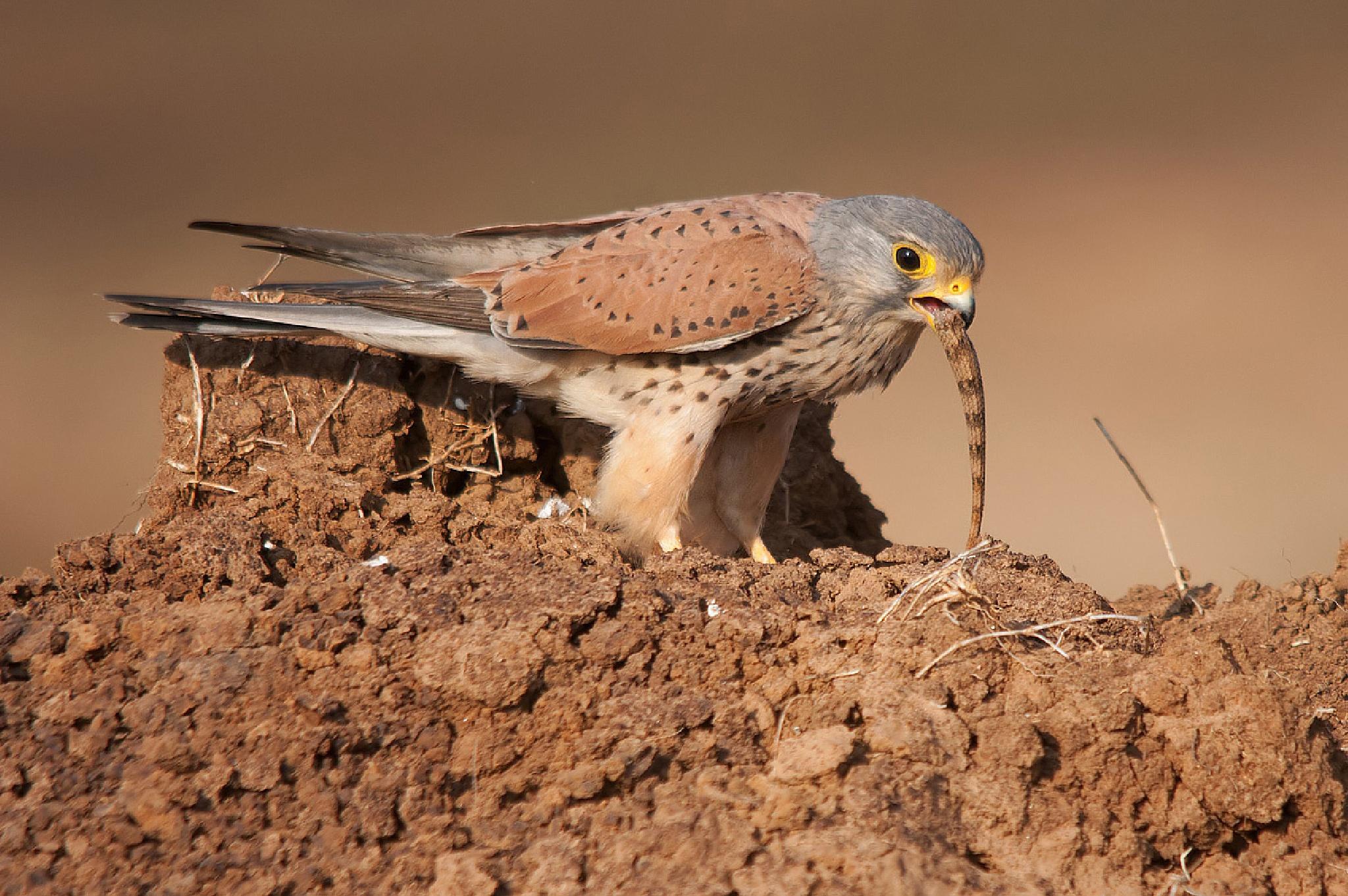 Common Kestrel - Male by GirishPrahalad