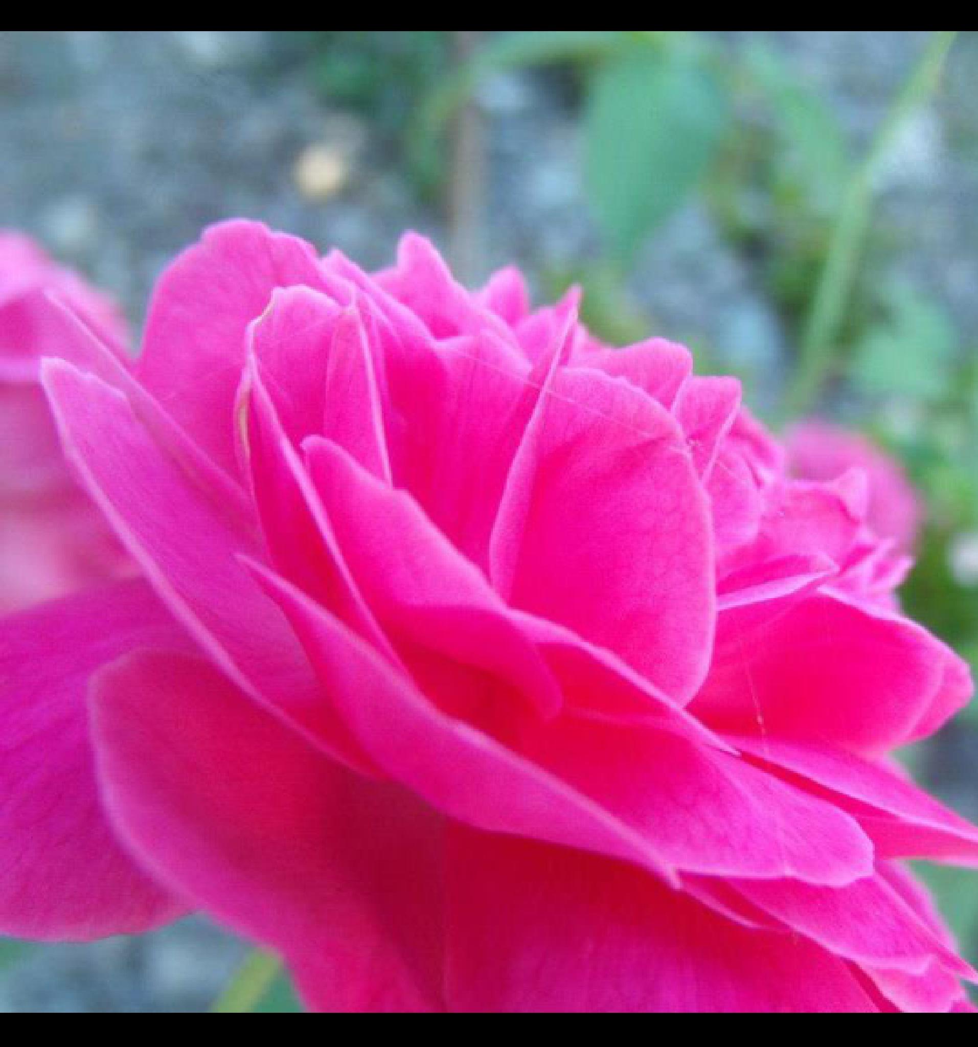 rose by Ohwan (amateur)