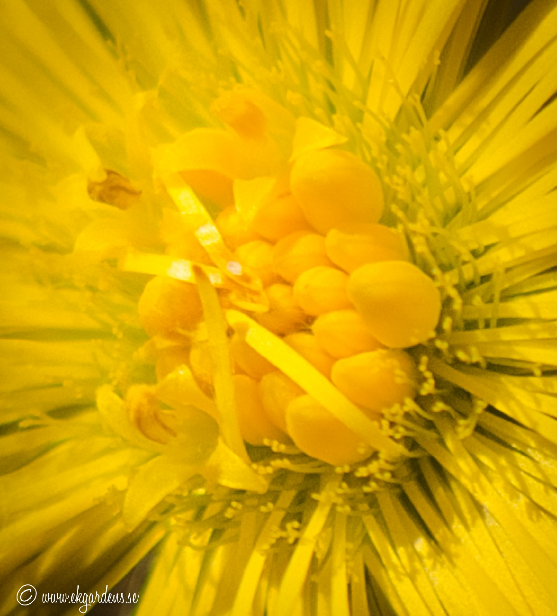 Sun in a flower by Ulrica Nykkel